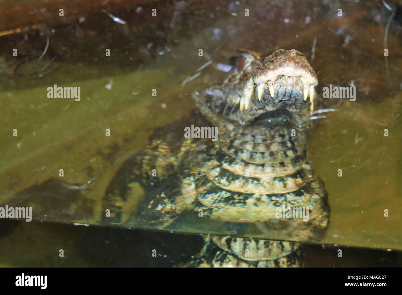 Smooth-fronted caiman half submerged in water at a tourist attraction - Stock Image