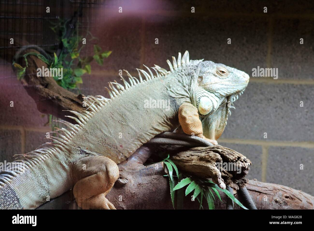 Iguana on a branch at a tourist attraction - Stock Image