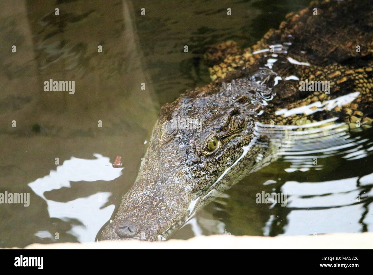 Freshwater Crocodile in water at tourist attraction - Stock Image