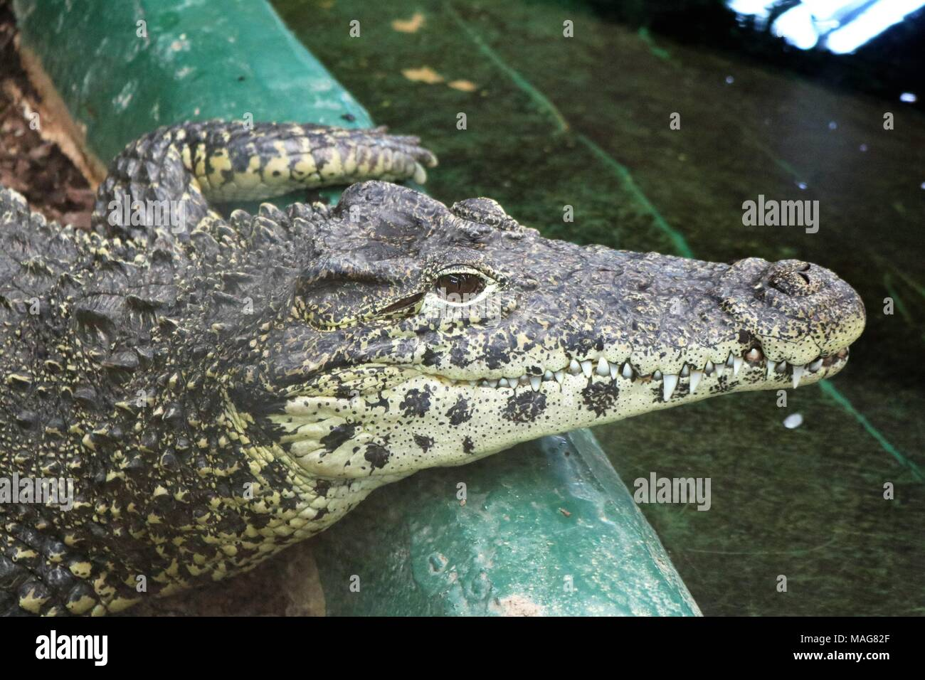 Black Caiman alligator lying on a rock near water at a visitors attraction - Stock Image