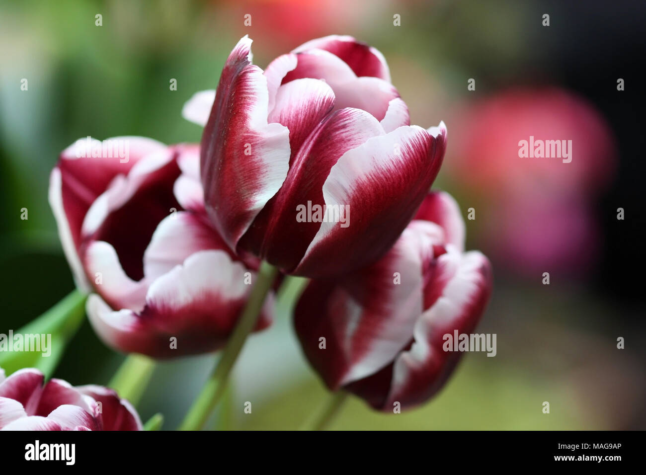 The tulips blossoming. A beautiful flower background with bright tulips horizontally. - Stock Image