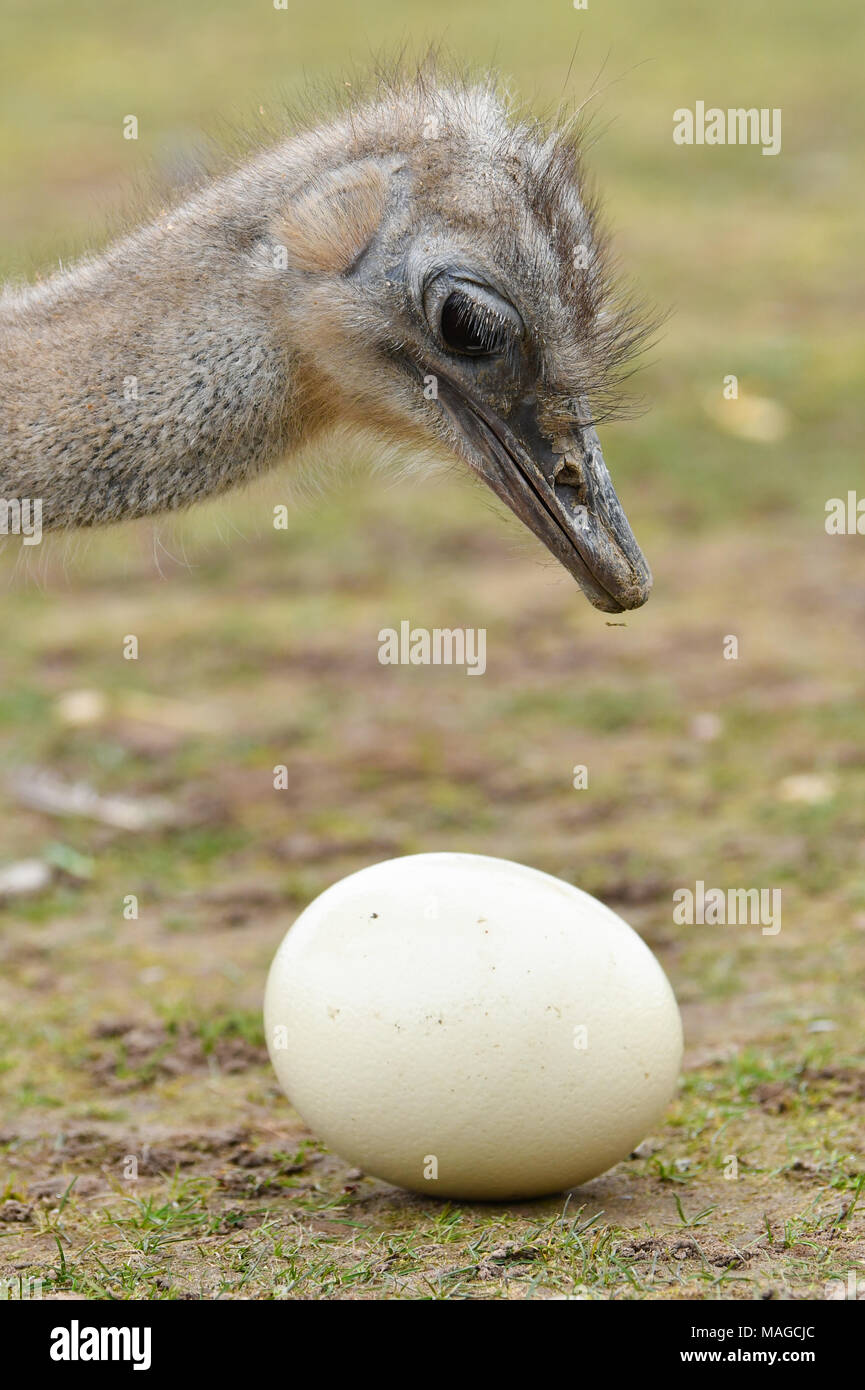 30 March 2018, Germany, Ruelzheim: A mother ostrich picks on an egg in the ostrich farm 'Mhou'. Photo: Uwe Anspach/dpa - Stock Image