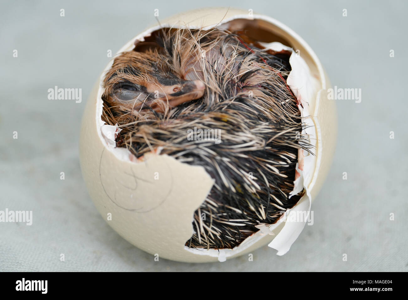 30 March 2018, Germany, Ruelzheim: A Baby ostriches of the subspecies blue-necked ostrich coming out of its egg in the breed station of the ostrich farm 'Mhou'. Photo: Uwe Anspach/dpa - Stock Image