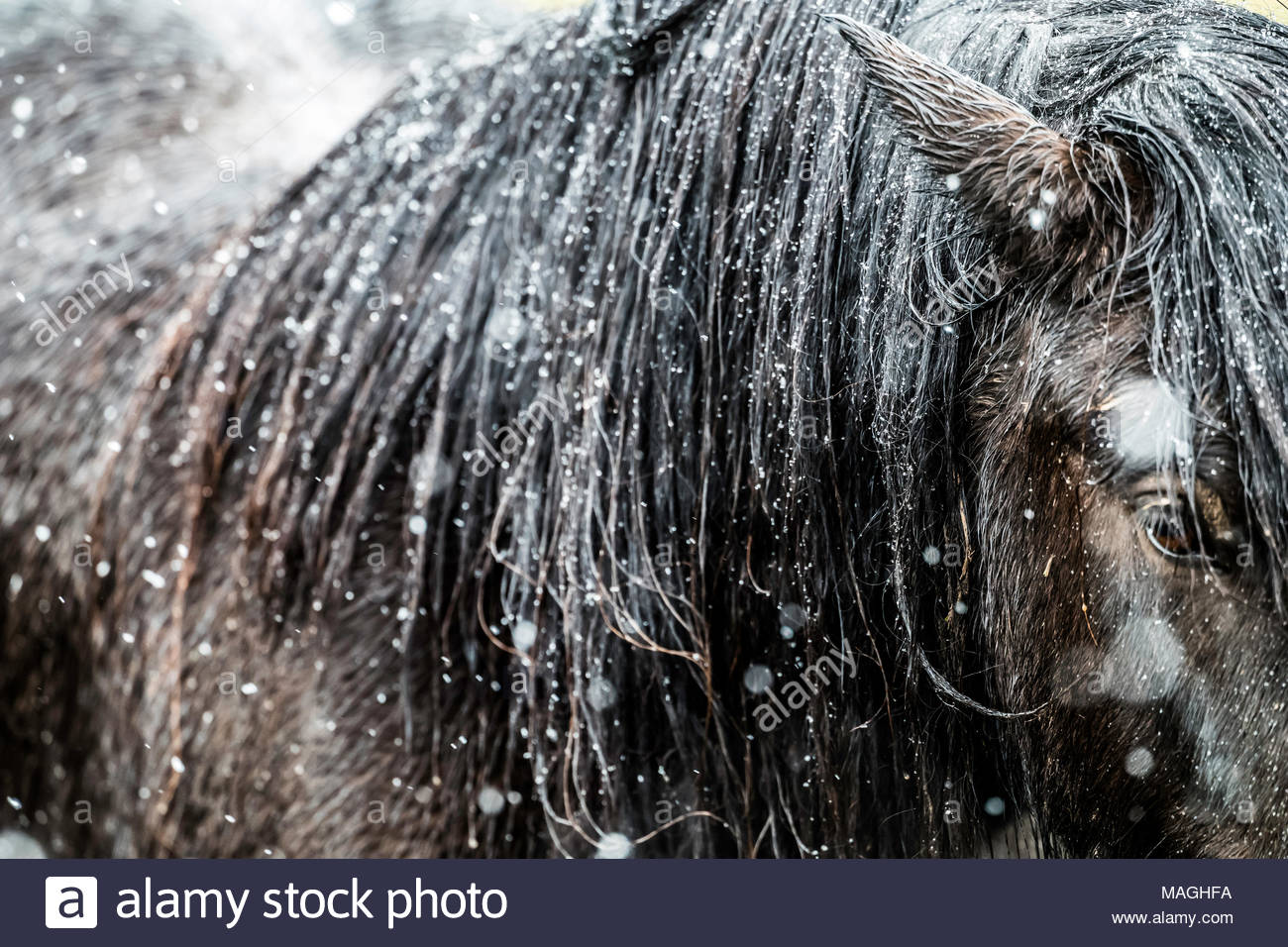 Hownam, Jedburgh, Scottish Borders, UK. 2nd April 2018. A Fell Pony in the snow on Towford Farm in the Kale Valley near the Anglo Scottish Border. Credit: Chris Strickland / Alamy Live News - Stock Image