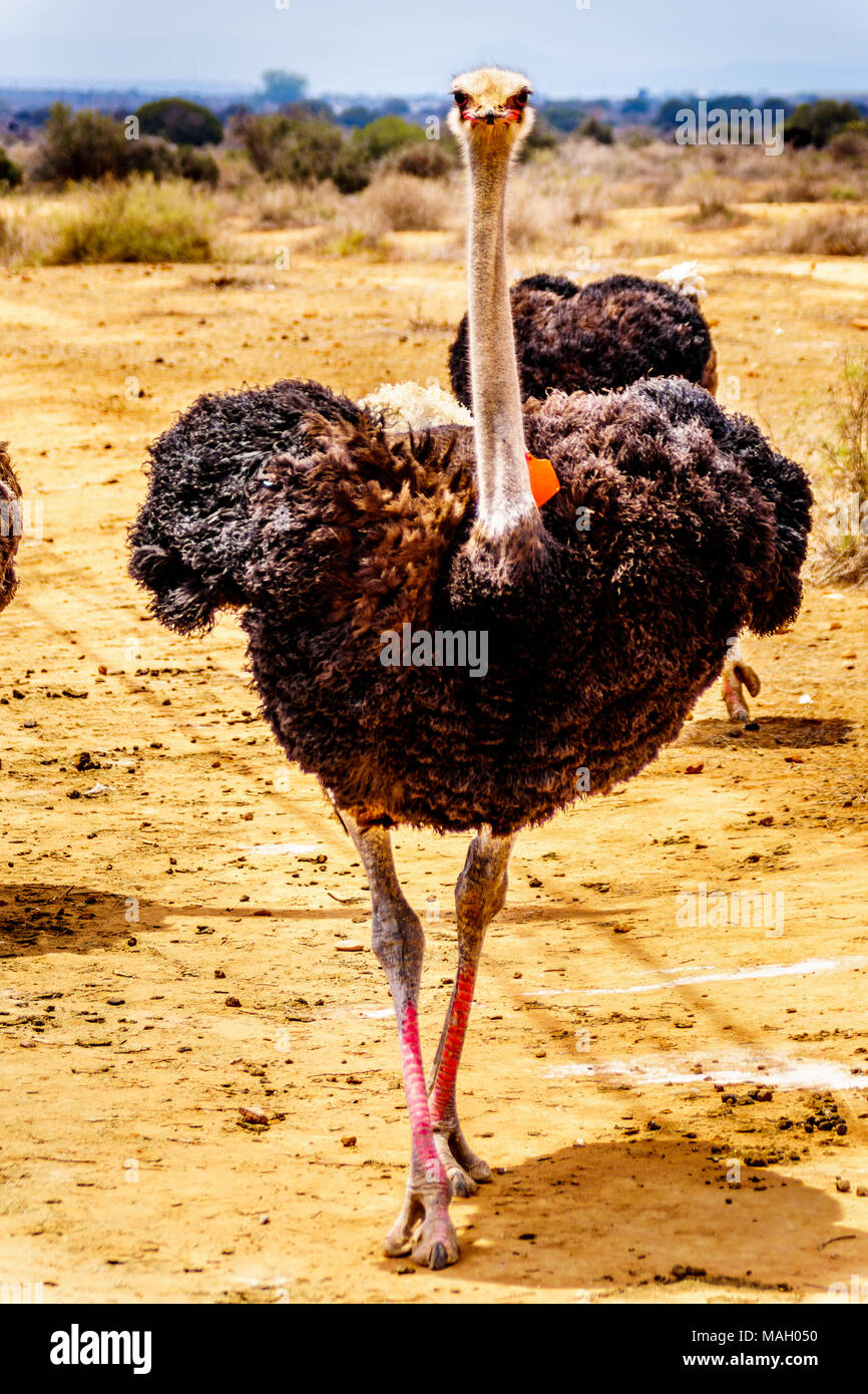 Male Ostrich at an Ostrich Farm in Oudtshoorn in the semi desert Little Karoo Region Western Cape Province of South Africa - Stock Image