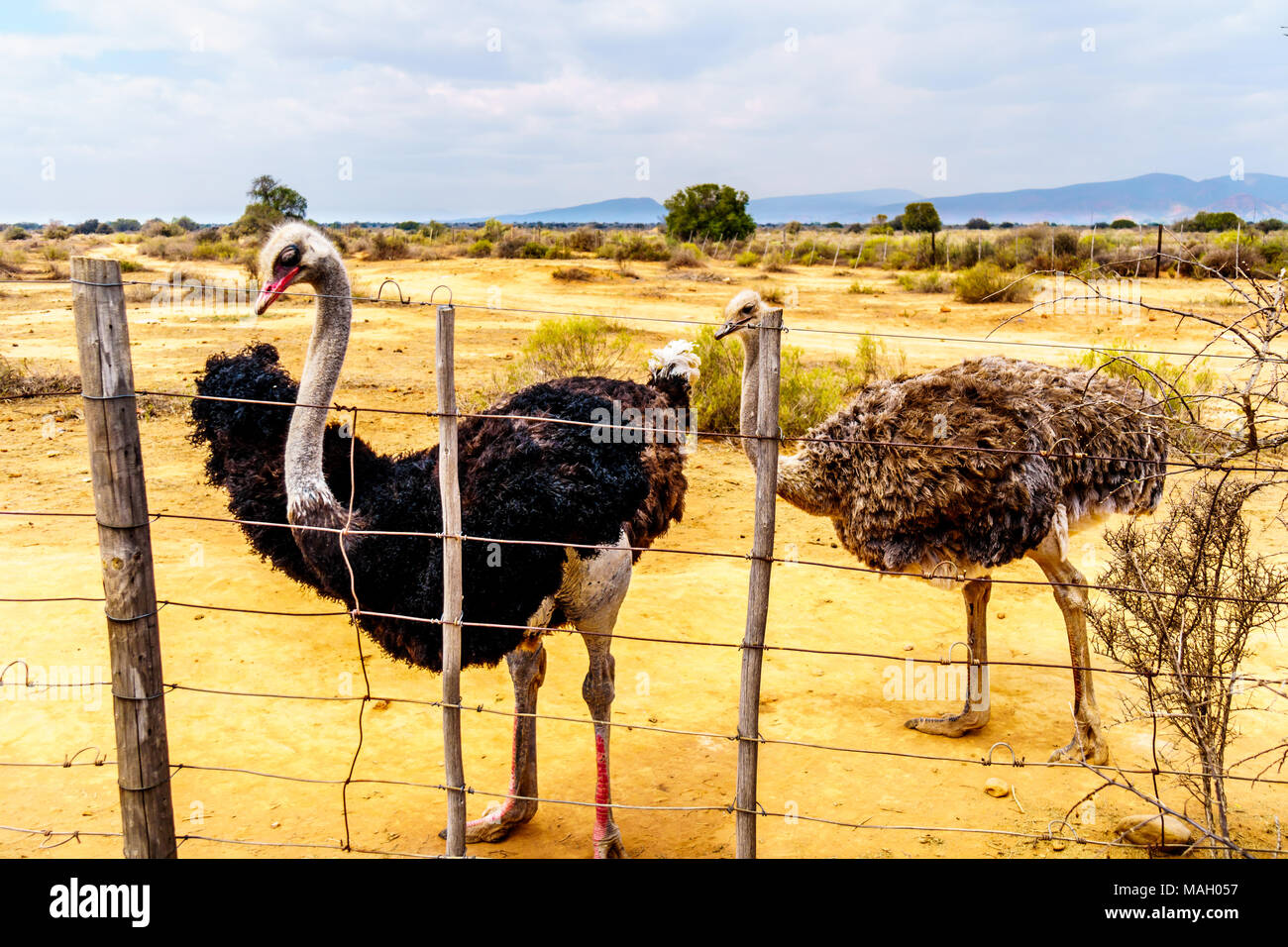 Female Ostrich and Male Ostrich at an Ostrich Farm in Oudtshoorn in the semi desert Little Karoo Region Western Cape Province of South Africa - Stock Image