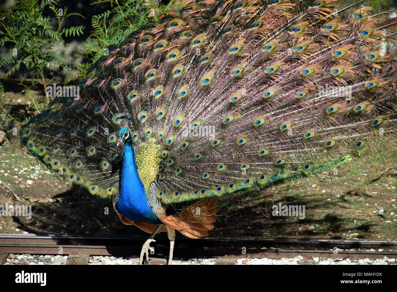 A male peacock showing his vibrant plumage Stock Photo