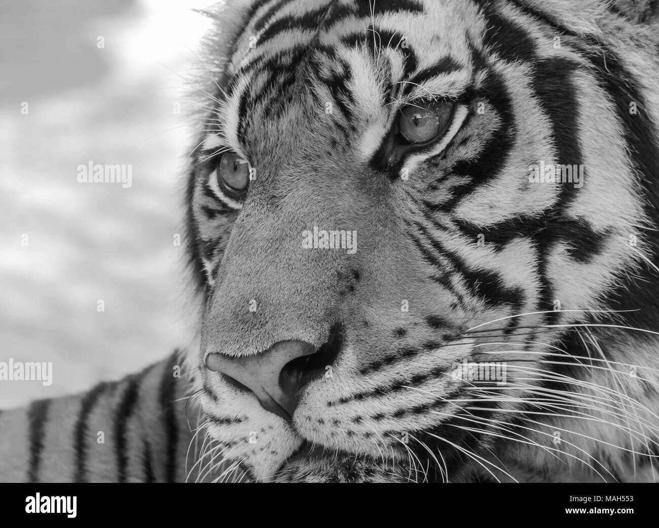 close up tiger in zoo , black and white tone - Stock Image