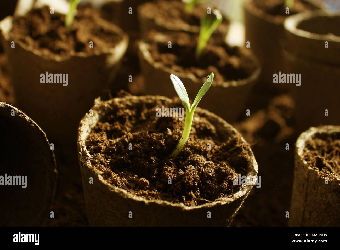 Young fresh seedling growing in pots - Stock Image