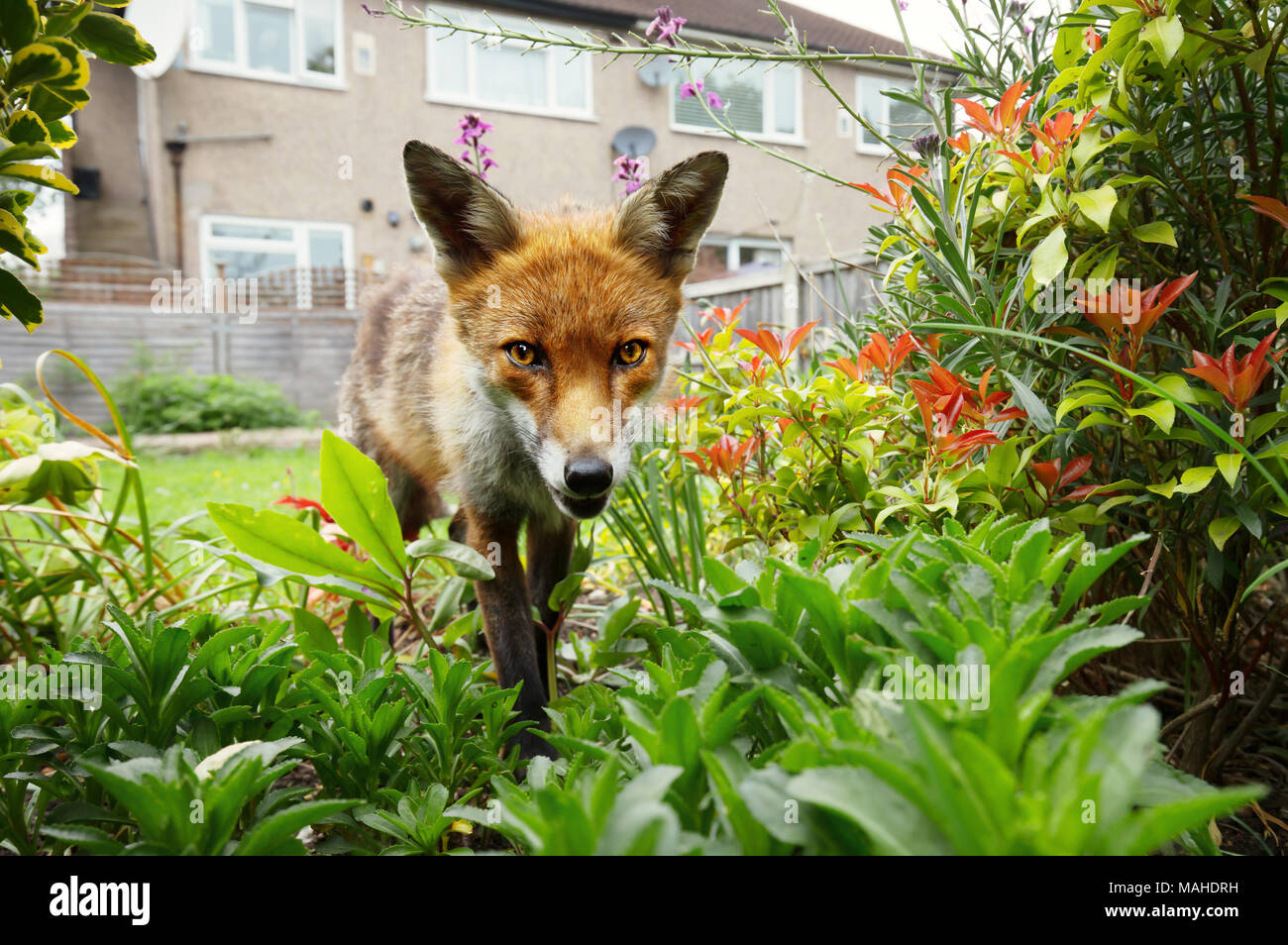 Red fox standing in the garden with flowers near house in a suburb of London, summer in UK. - Stock Image