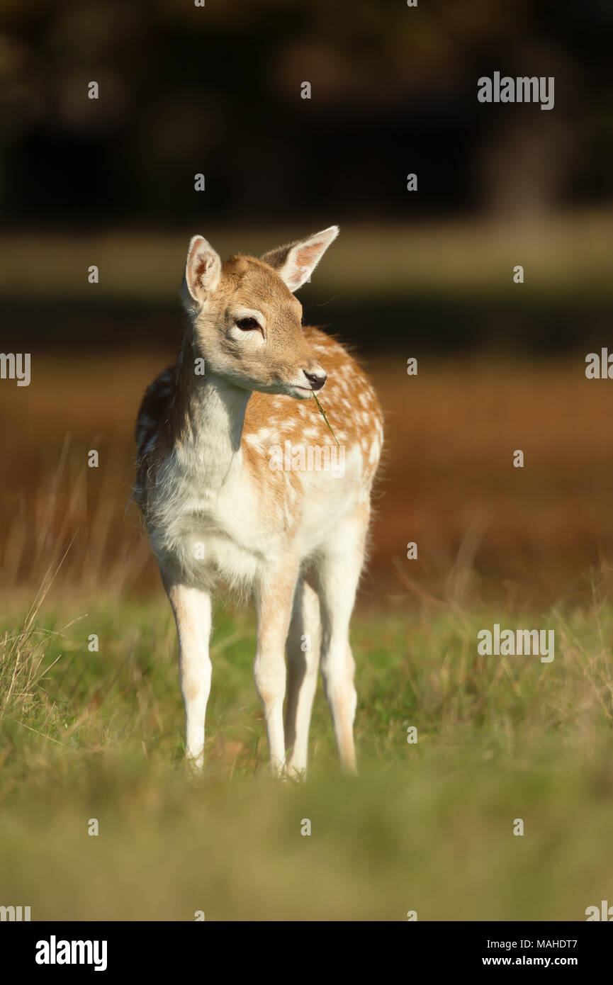 Close-up of a Fallow deer fawn foraging in the field of grass, UK. - Stock Image