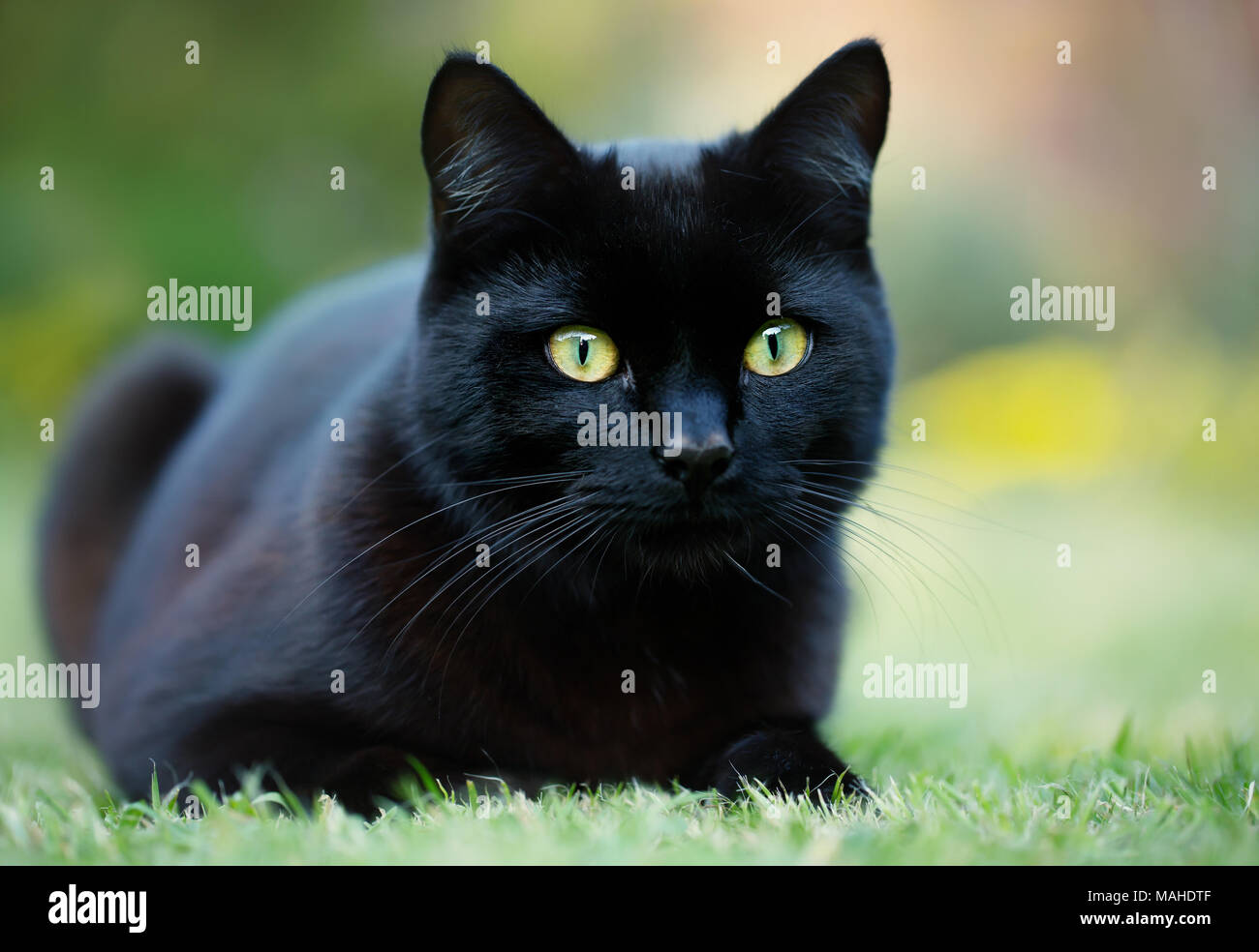 Close up of a black cat lying on the grass in the garden, UK. - Stock Image