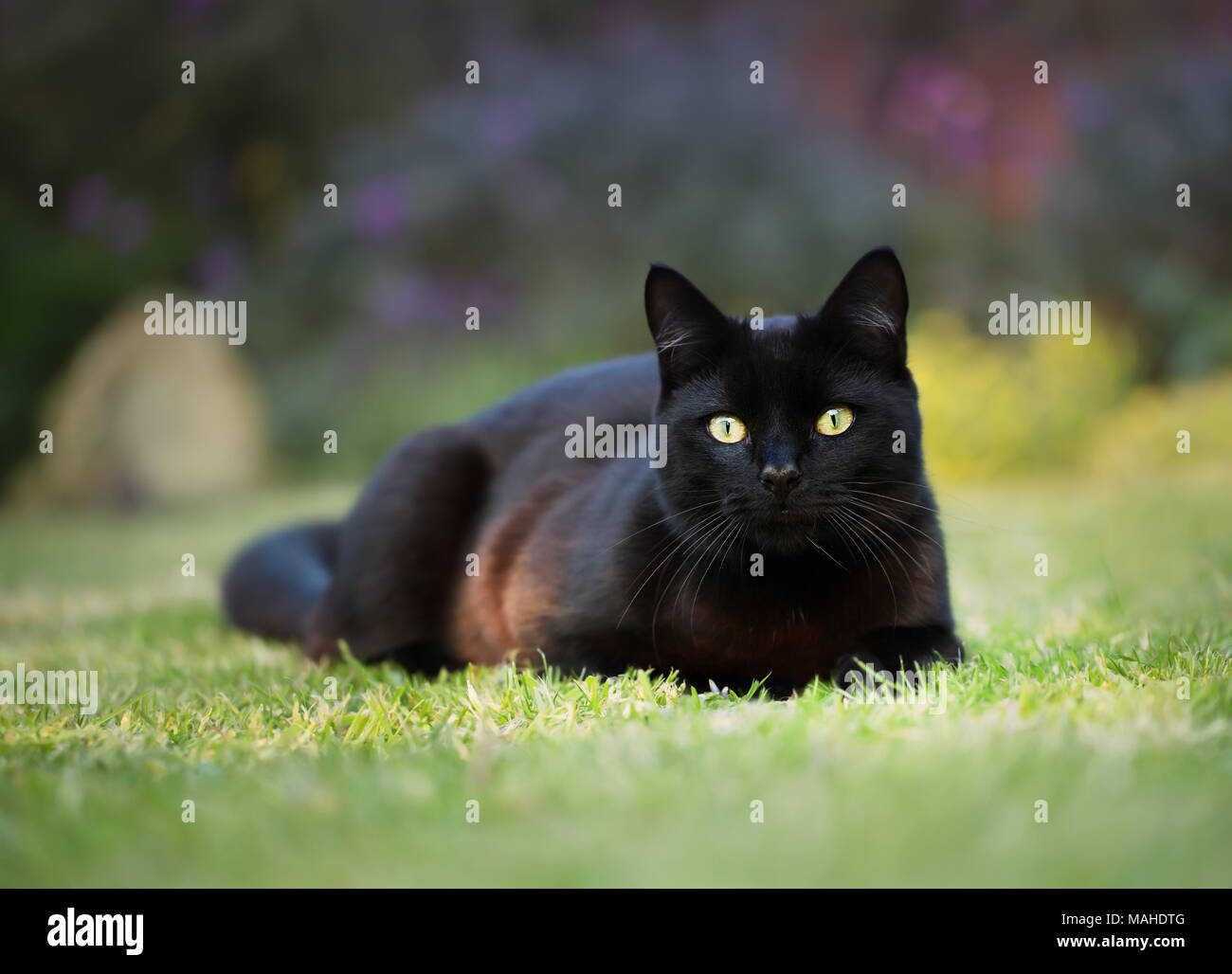 Close up of a black cat lying on the grass in the back garden, UK. - Stock Image