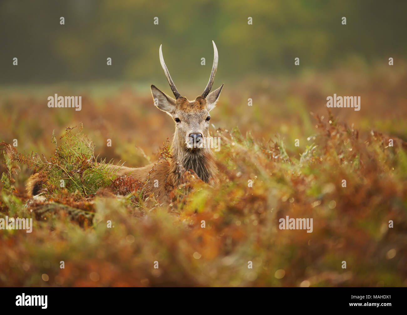Close up of a young red deer stag in the field of fern in autumn, UK. Urban wildlife, London. - Stock Image