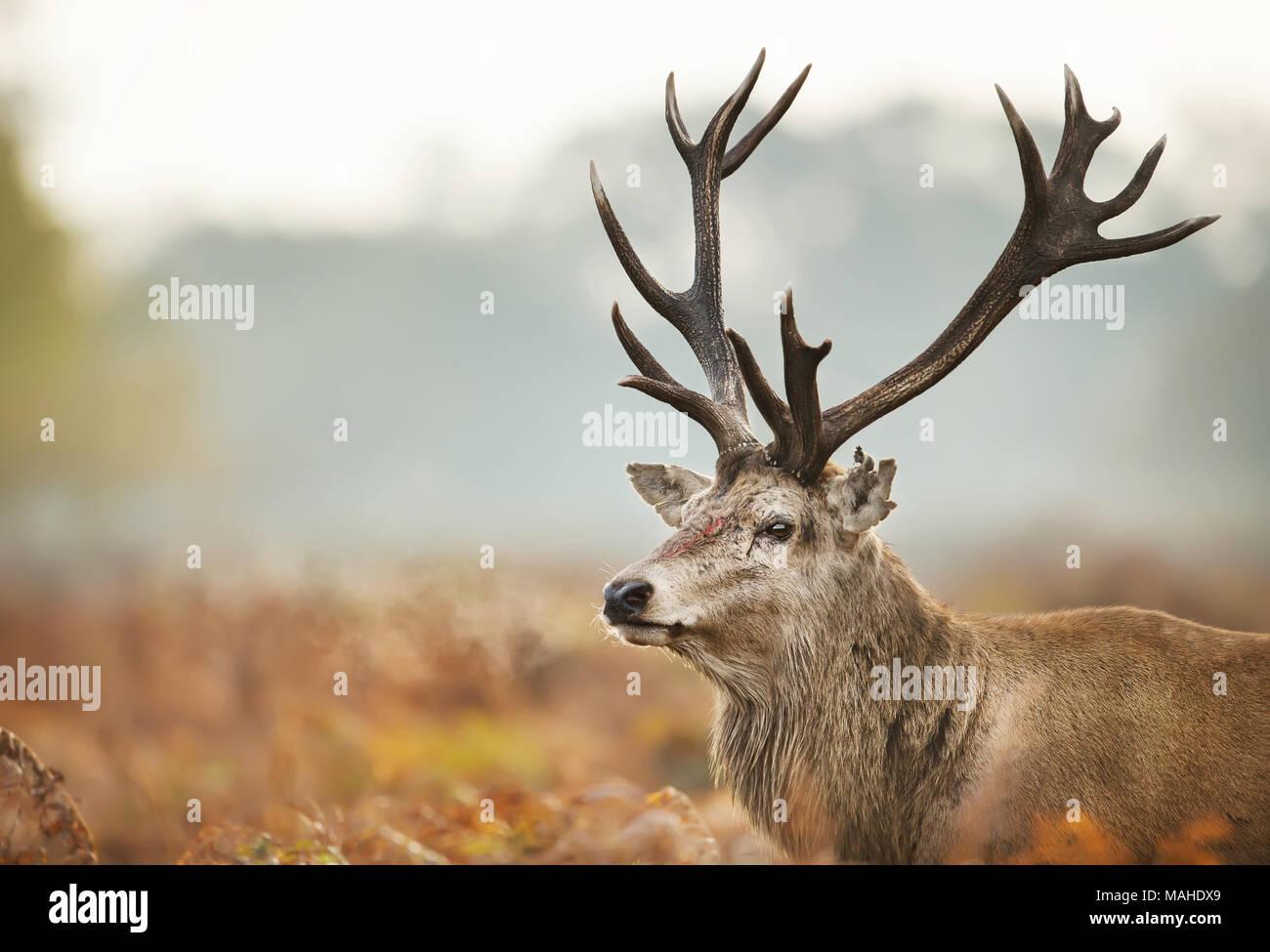 Close-up of an injured Red deer during the rutting season, UK. - Stock Image