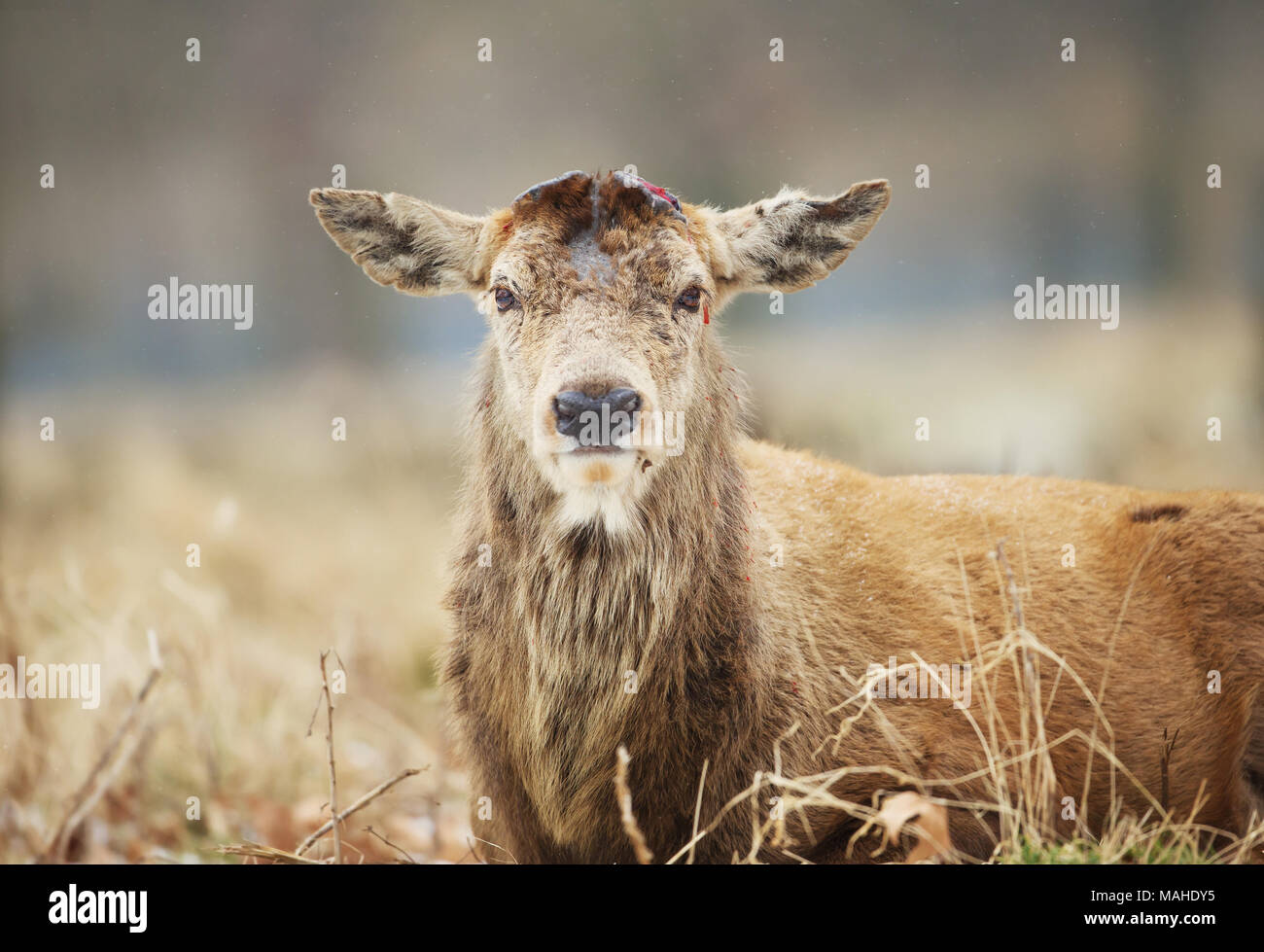 Close - up of a Red deer having recently shed his antlers in winter, UK - Stock Image