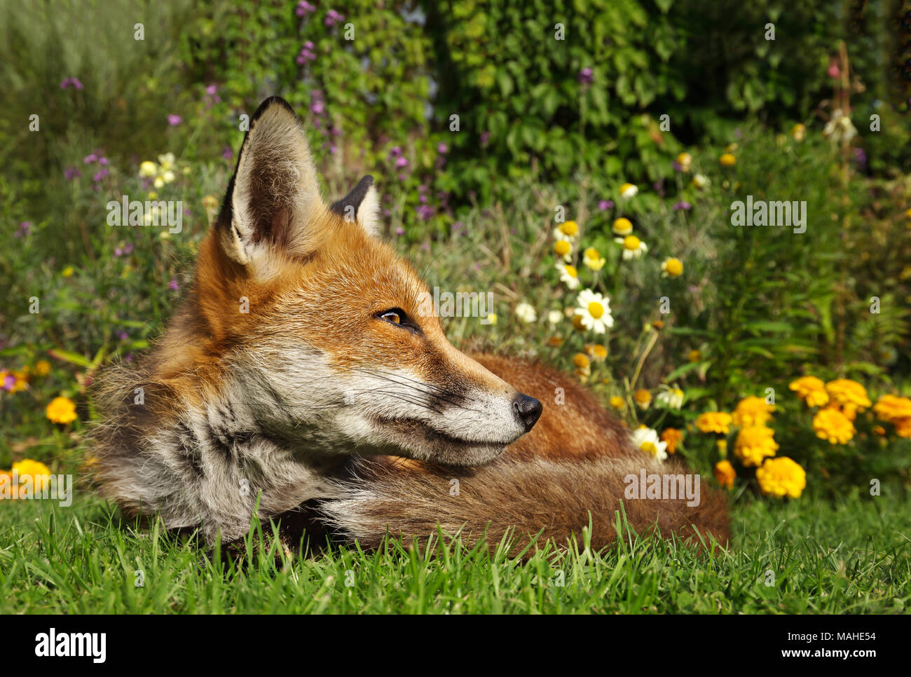 Red fox lying in the garden with flowers, summer in UK. - Stock Image