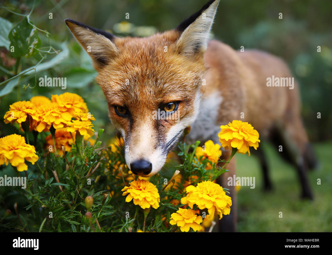 Red fox smelling marigold flowers in the garden, summer in UK. - Stock Image