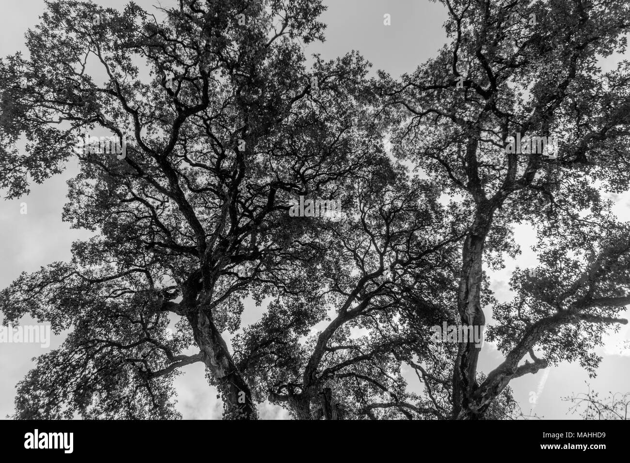 Tree branches against a cloudy sky. black White. - Stock Image