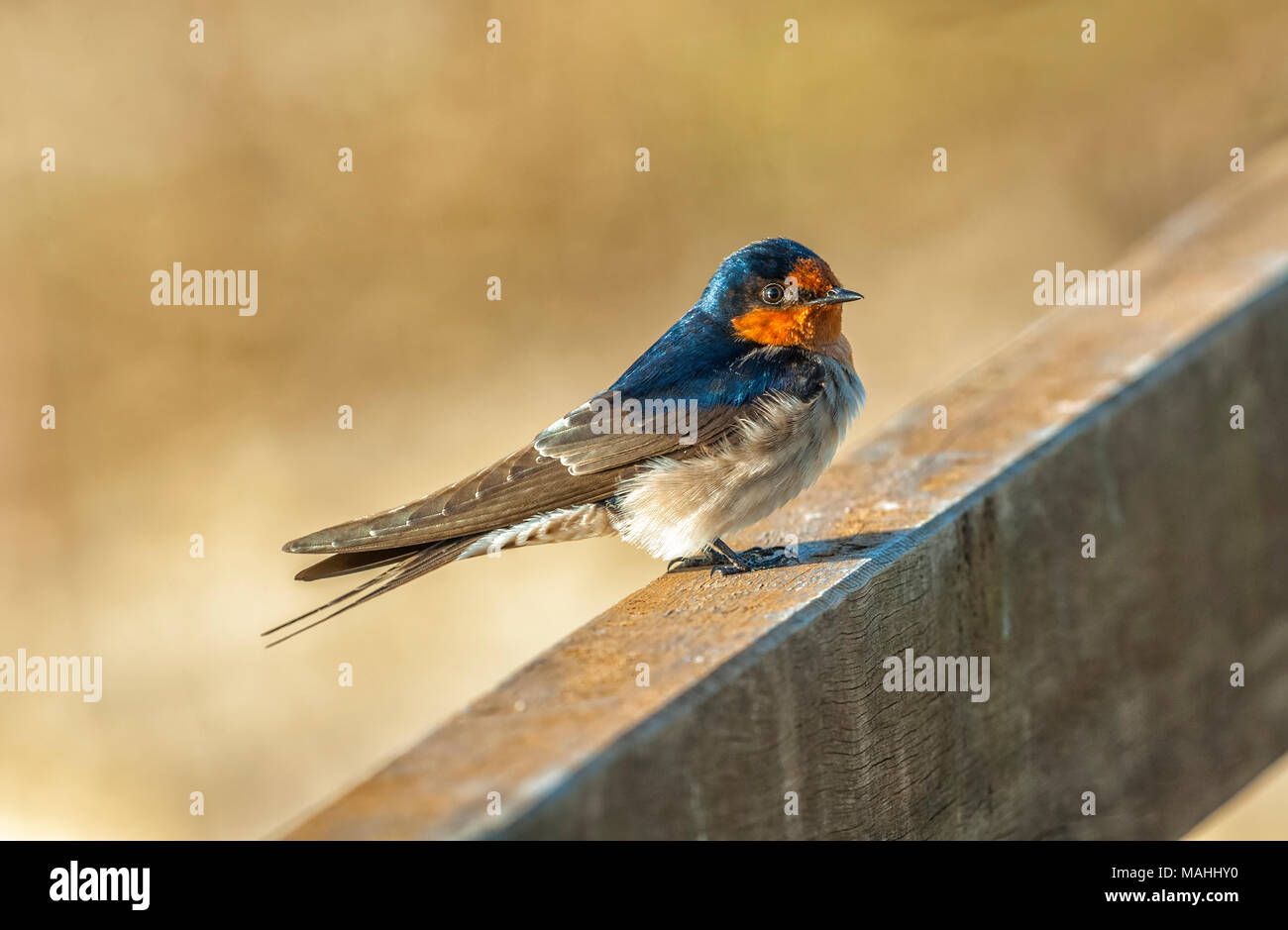 A welcome swallow perched on a bridge in northern queensland, australia Stock Photo