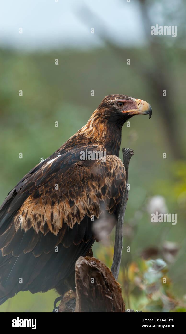 Wedge Tailed Eagle Queensland Australia Stock Photo Alamy