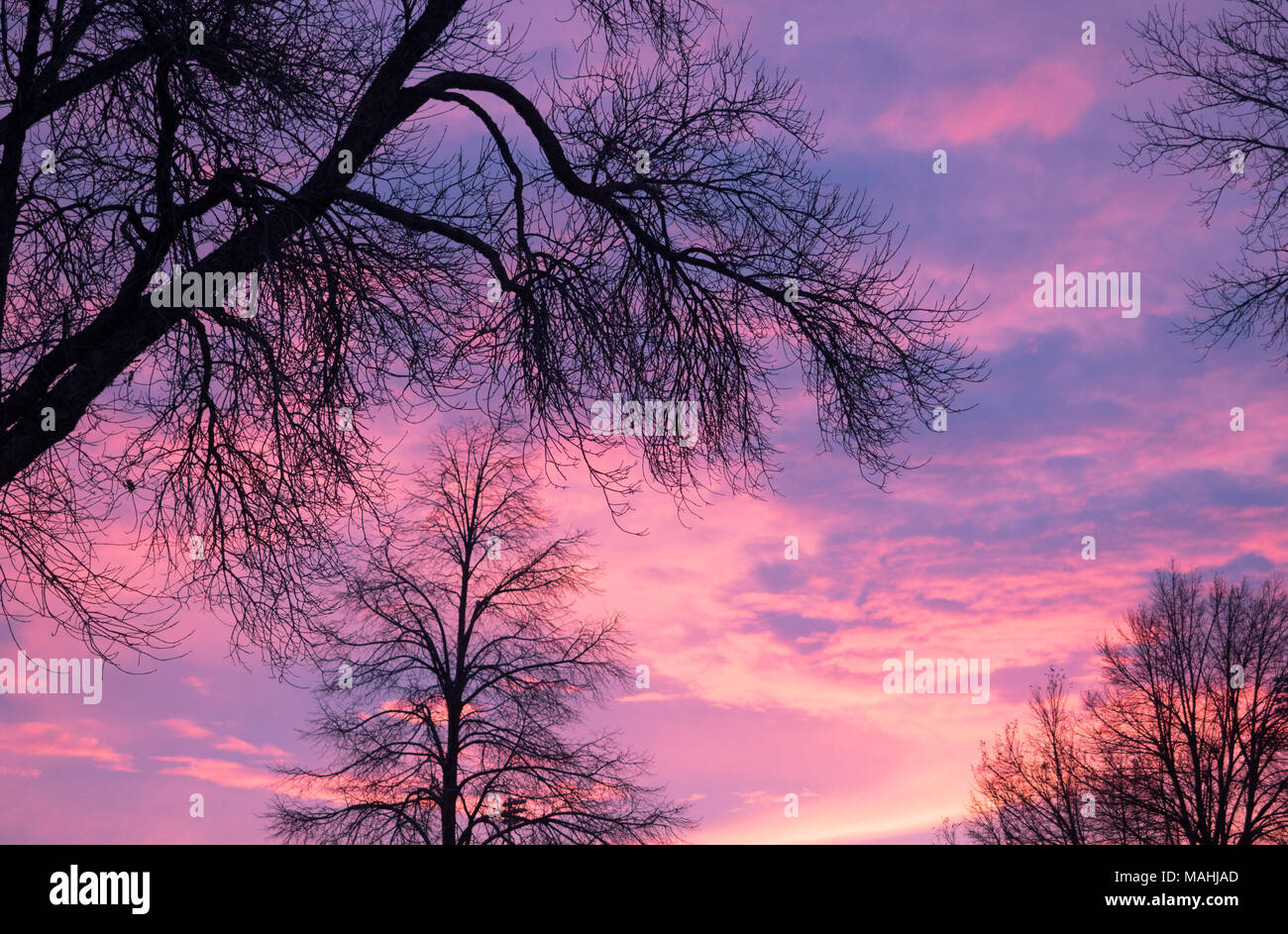 A brilliant purple, peach, coral, pink and lavender sunrise with deciduous trees in silhouette in the foreground. - Stock Image