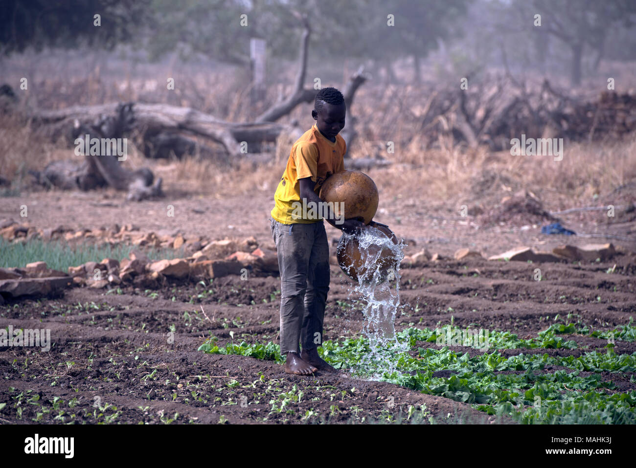 A young, indigenous Dogon tribe boy uses calabashes to water lettuce in a garden. Dogon country, Mali, West Africa. - Stock Image