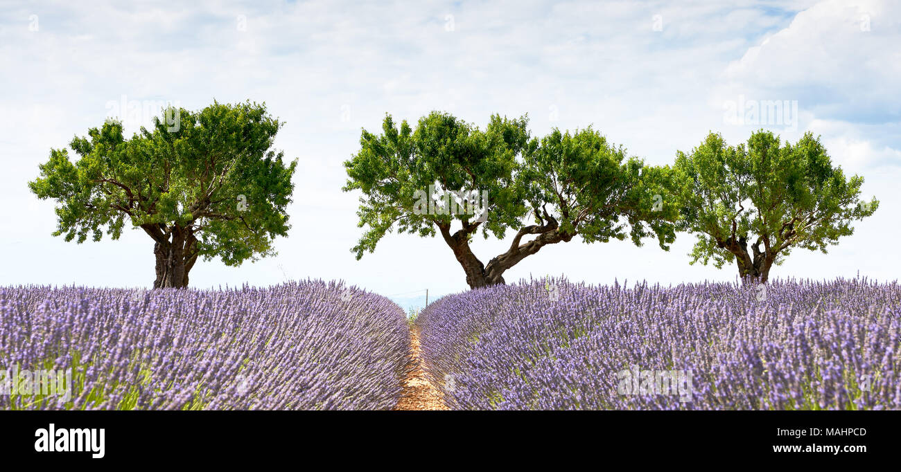 In Valensole, three trees, a lavender field and a sky full of clouds Stock Photo