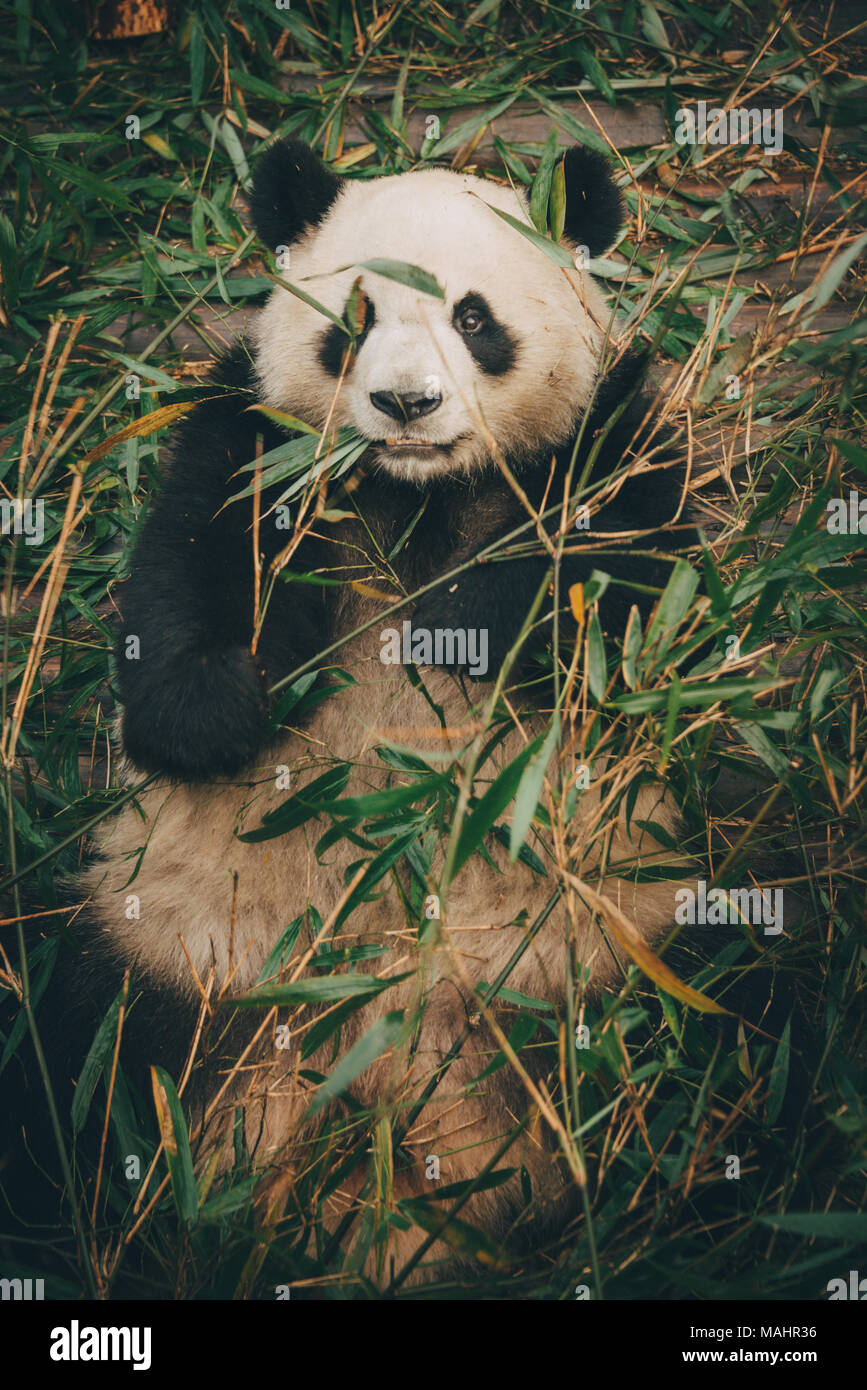 The giant panda breeding center in Chengdu, China - Stock Image