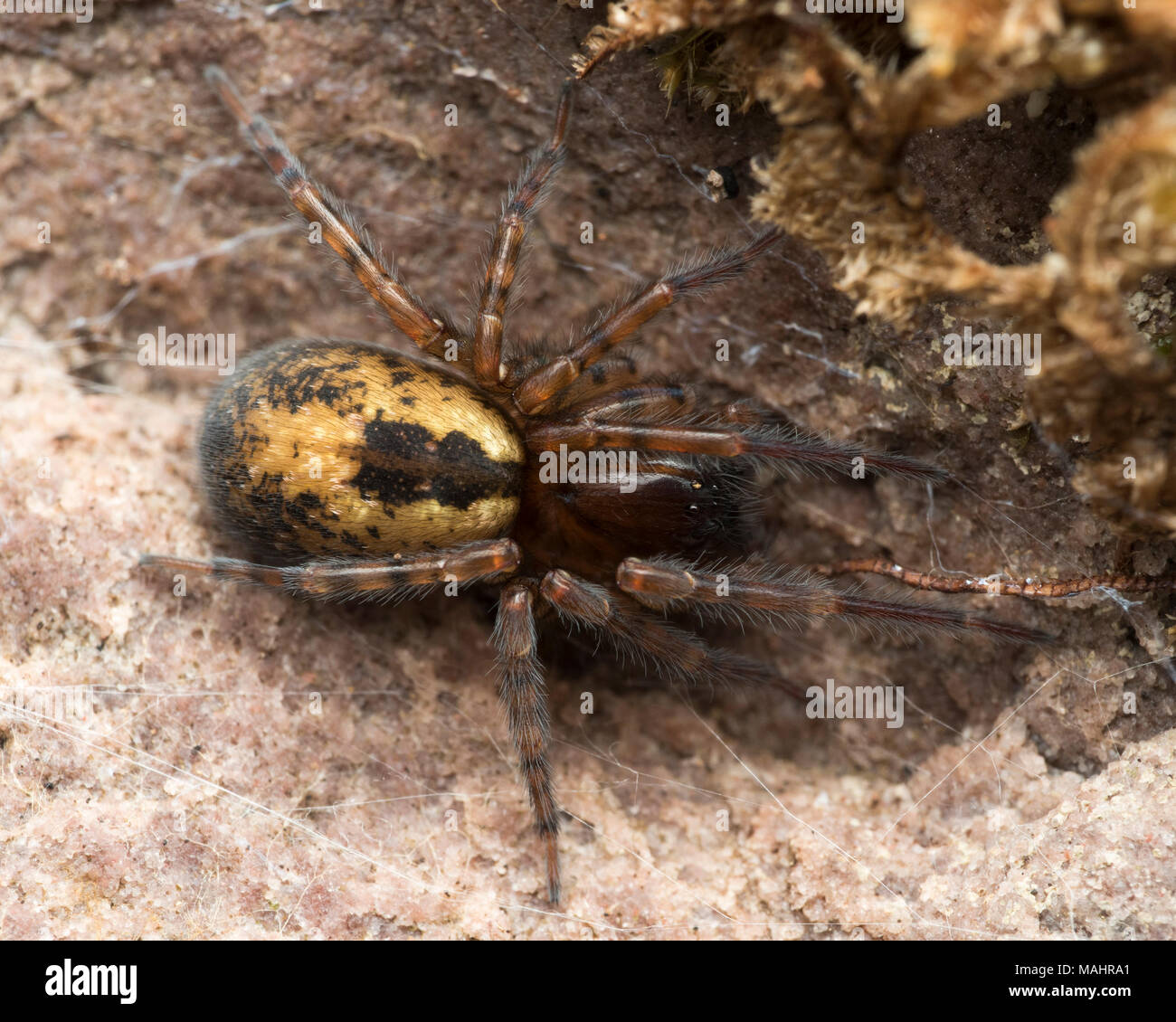 Dorsal view of Lace-web Spider or Lace-weaver spider(Amaurobius sp.) underneath loose bark. Tipperary, Ireland - Stock Image