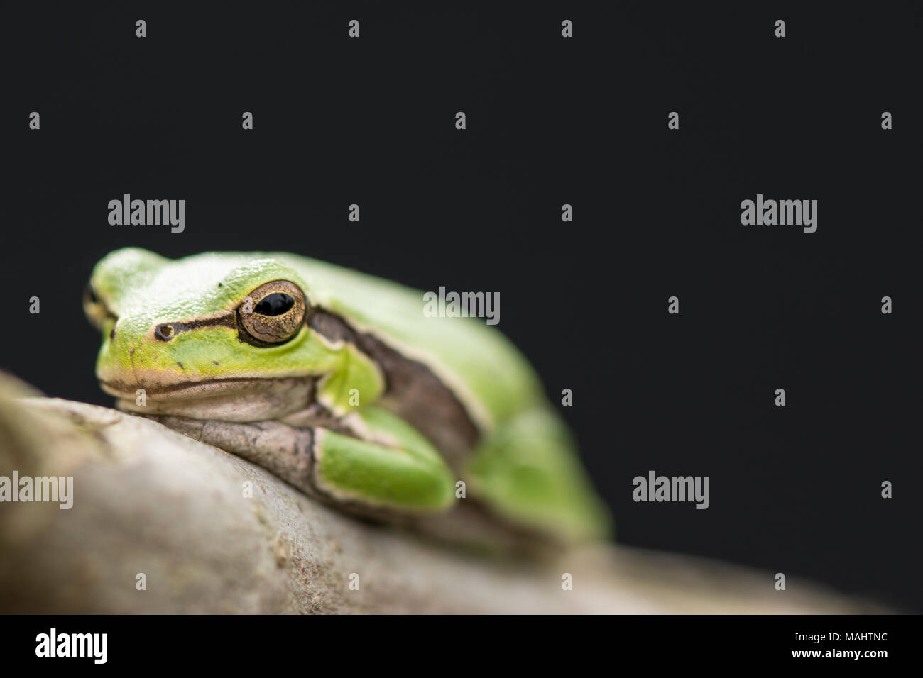 Tropical green tree frog on a branch in front of dark background. - Stock Image
