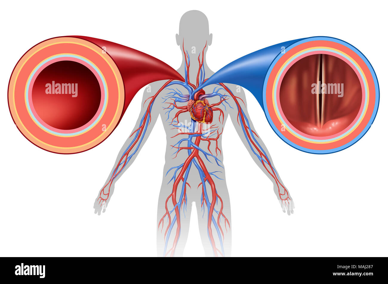 Artery And Vein Structure As A Human Circulation Concept With Blood
