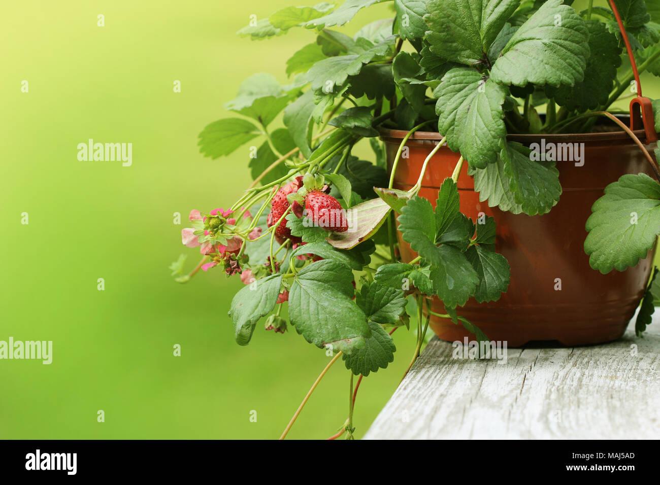 Alpine strawberry plant in pot with pink flower on green backgroun alpine strawberry plant in pot with pink flower on green backgroun stock photo 178649589 alamy mightylinksfo Gallery