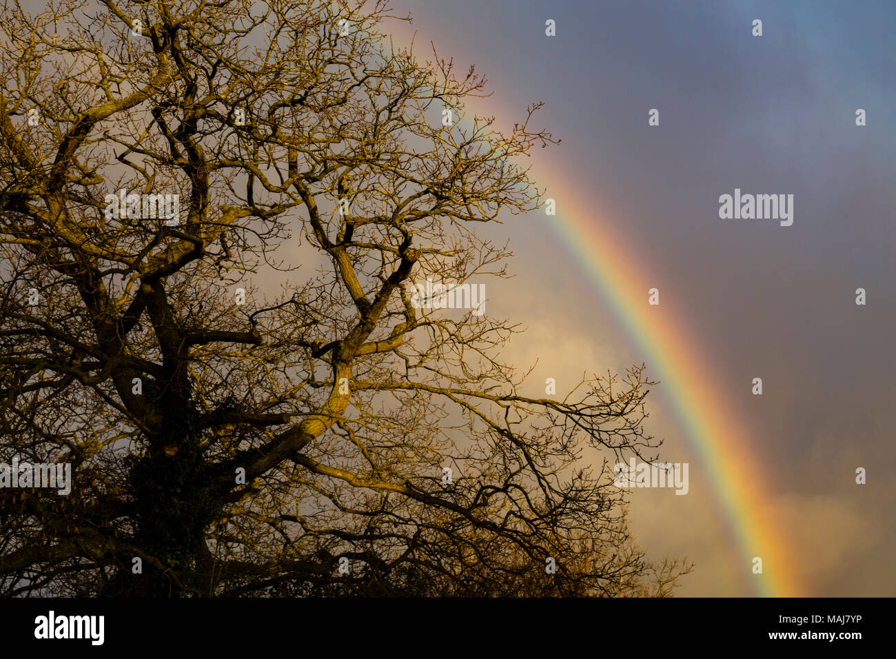 Rainbow behind a bare oak tree in winter - Stock Image