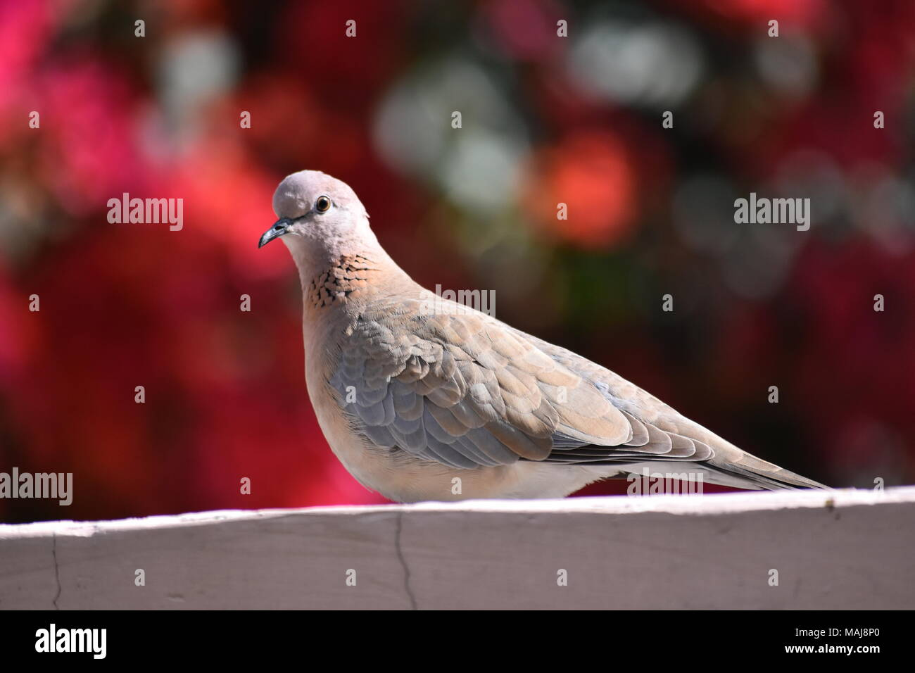 The Laughing Dove or Spilopelia senegalensis. - Stock Image