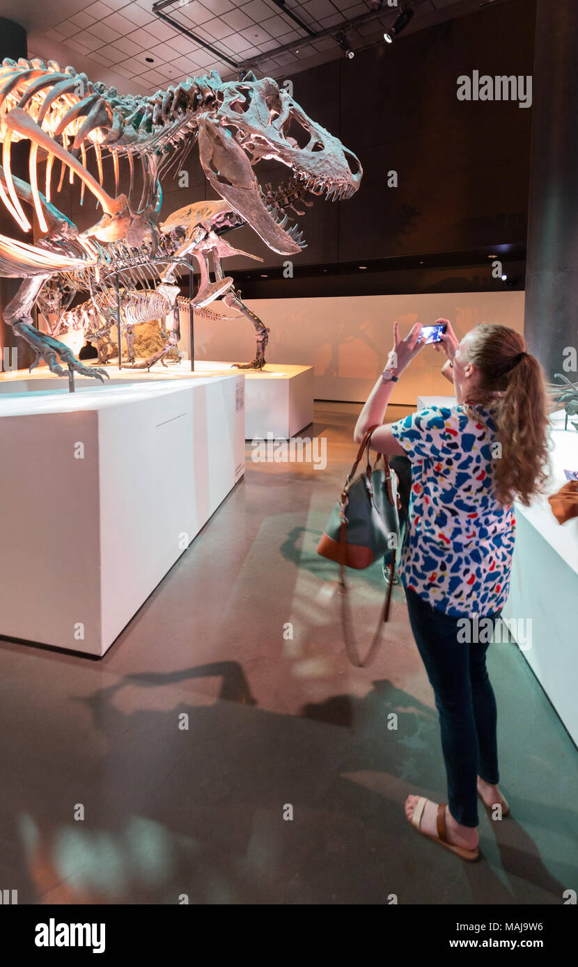 Woman taking a photo of dinosaur fossils, Houston Museum of Natural Science, Houston, Texas USA - Stock Image