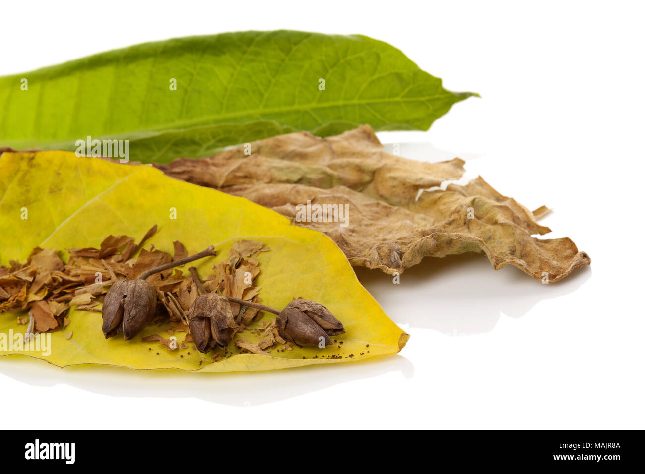 Tobacco dried blossom with dried and fresh tobacco leaves isolated on white background. - Stock Image