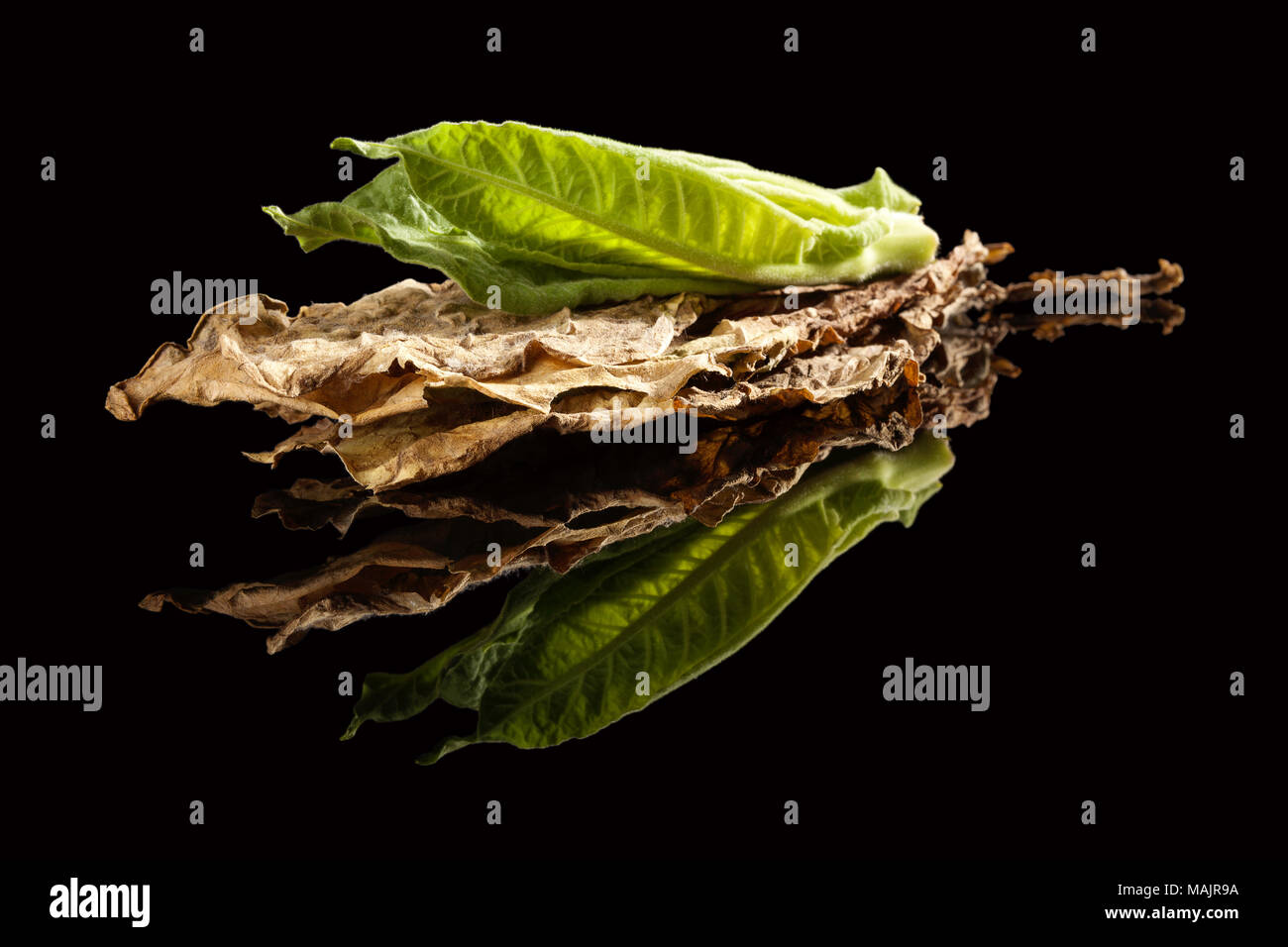 Fresh and dried tobacco leaves isolated on dark background with reflection. - Stock Image