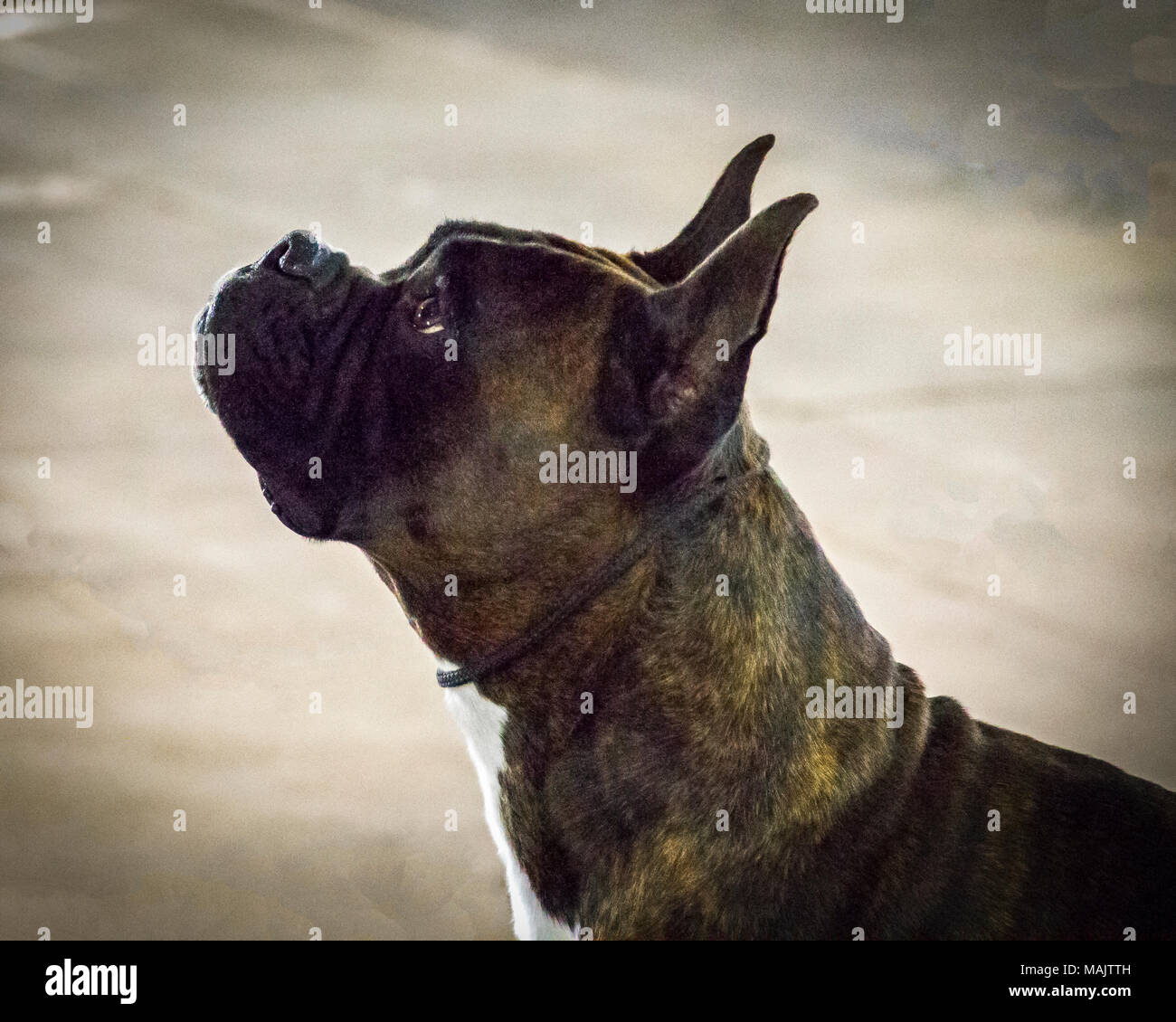 A head-shot portrait of a boxer dog at a dog show Stock Photo