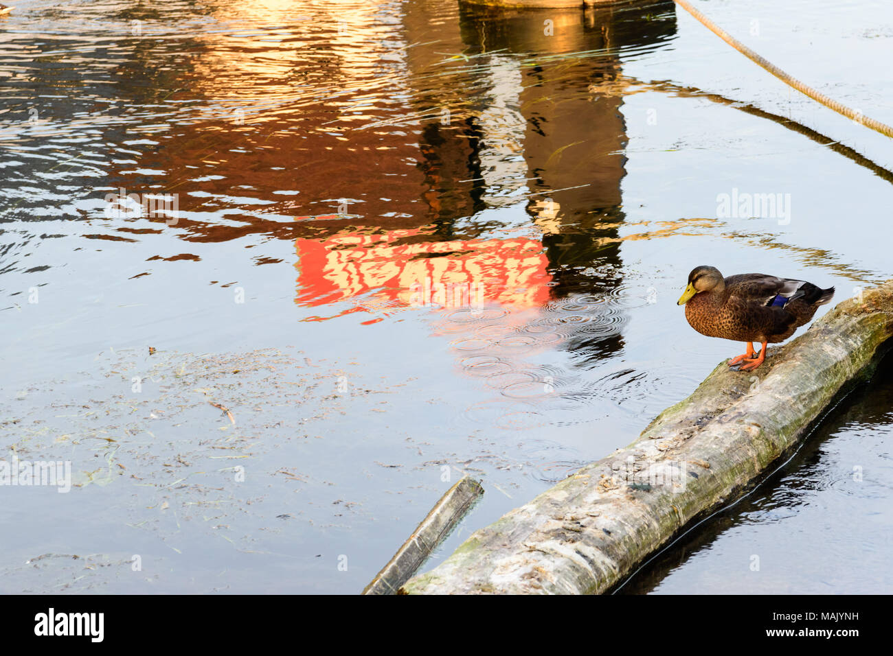 A duck resting on a log in the river Thames - Stock Image