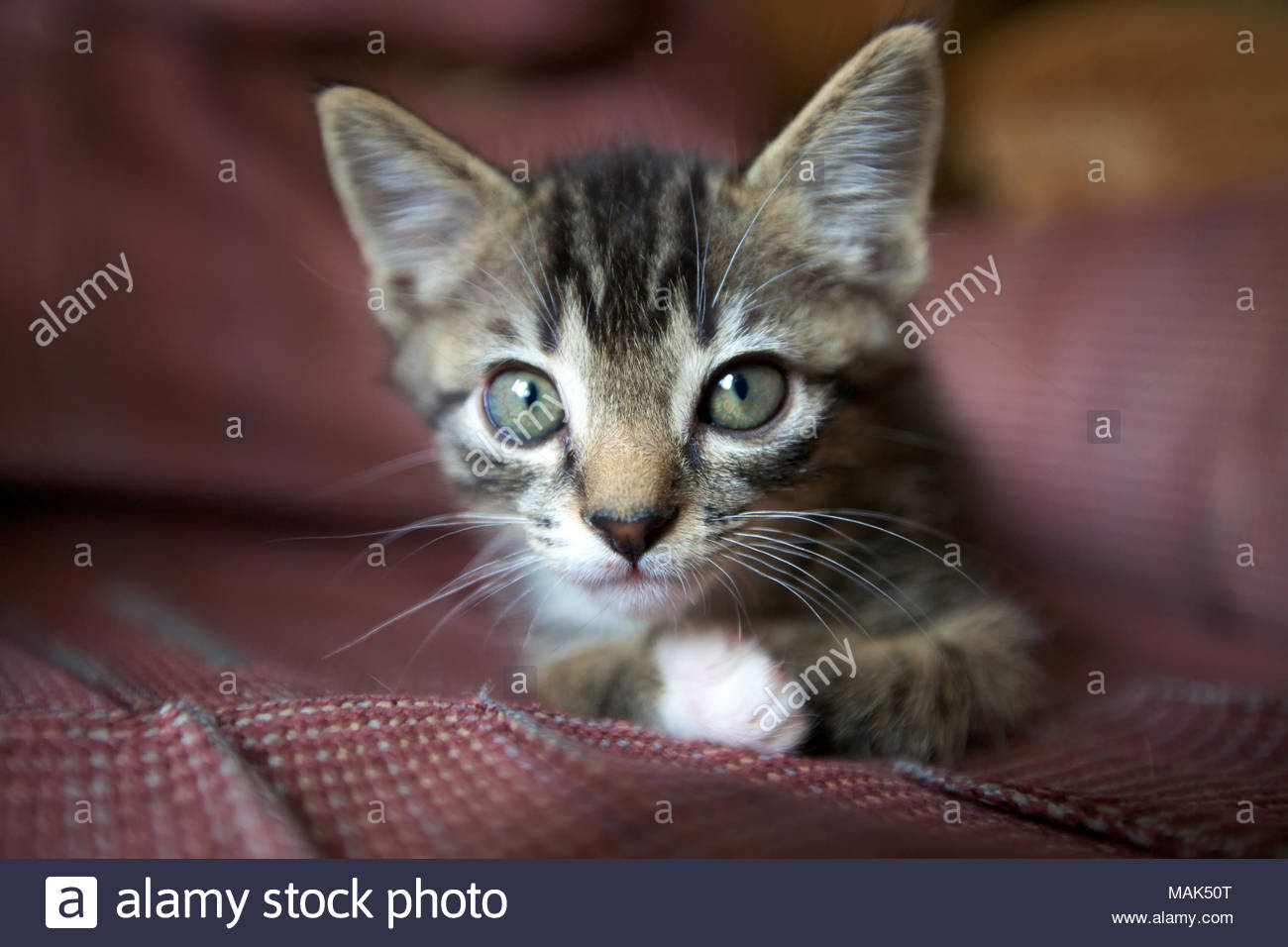 close up of grey eyed brown tabby kitten with a white paw lying on