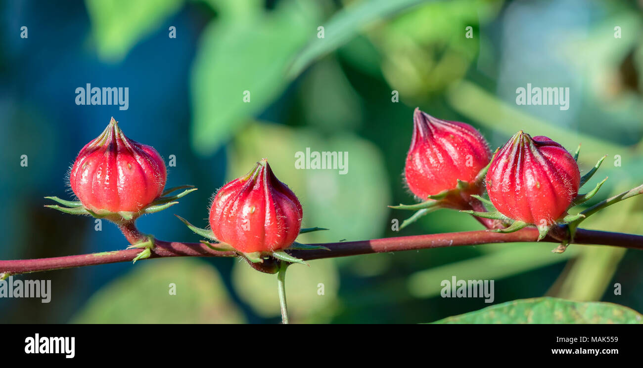 Hibiscus Sabdariffa Or Roselle Fruits On Plant This Is A Medicinal