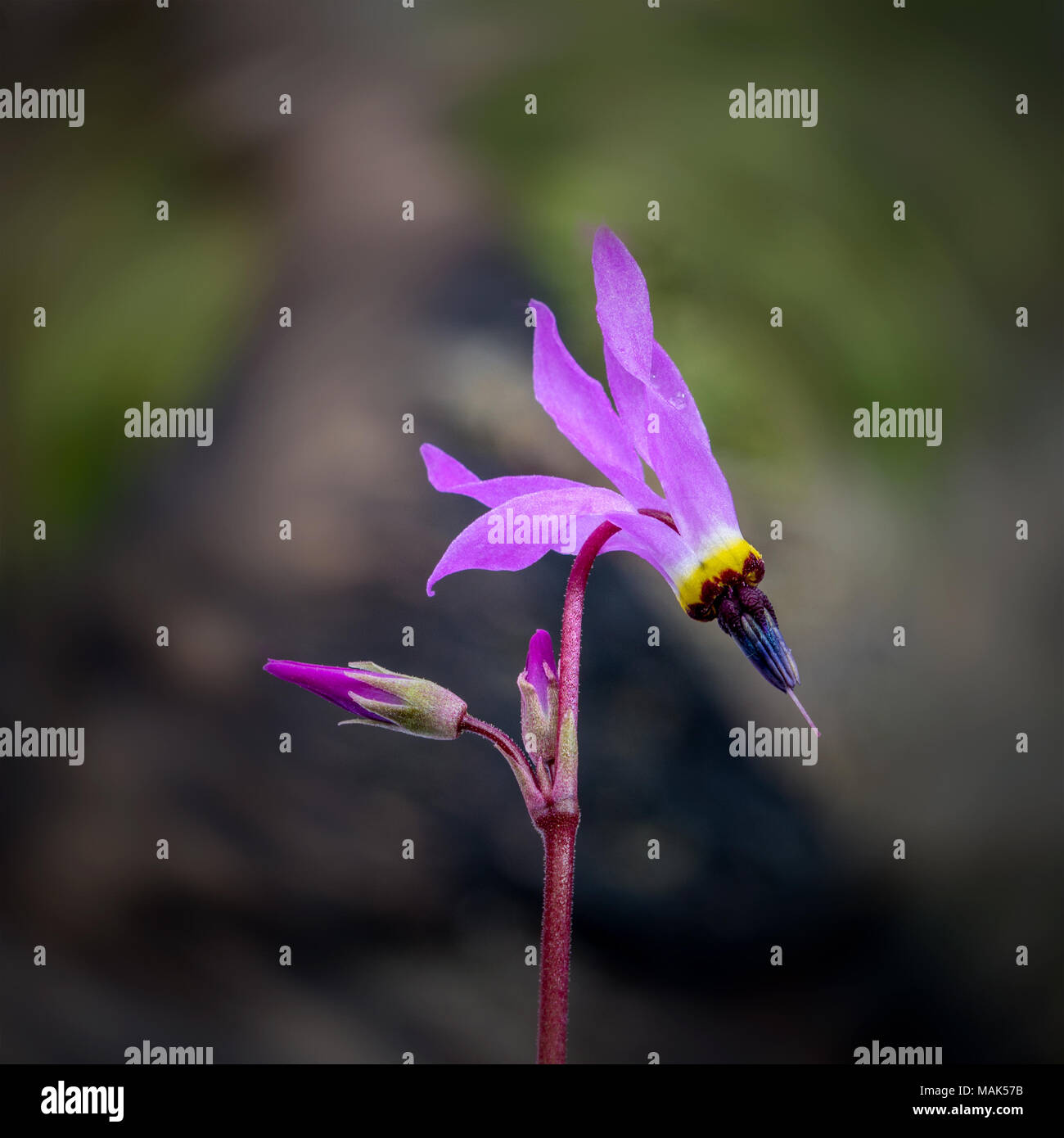 Pink Shooting stars (Dodecatheon) in nature selective focus wildflower - Stock Image