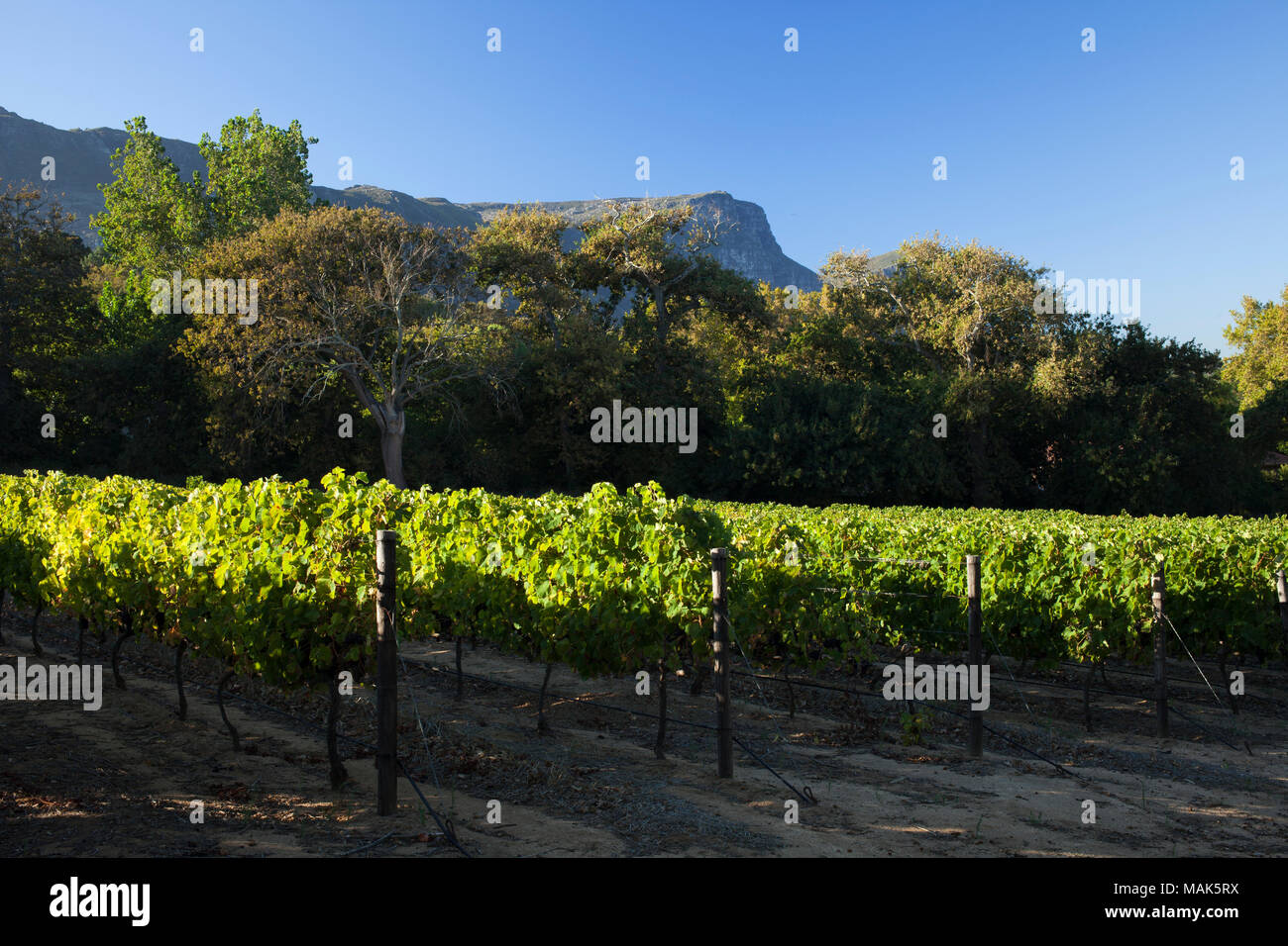 A neat, sunlit vineyard in Constantia, Cape Town - Stock Image