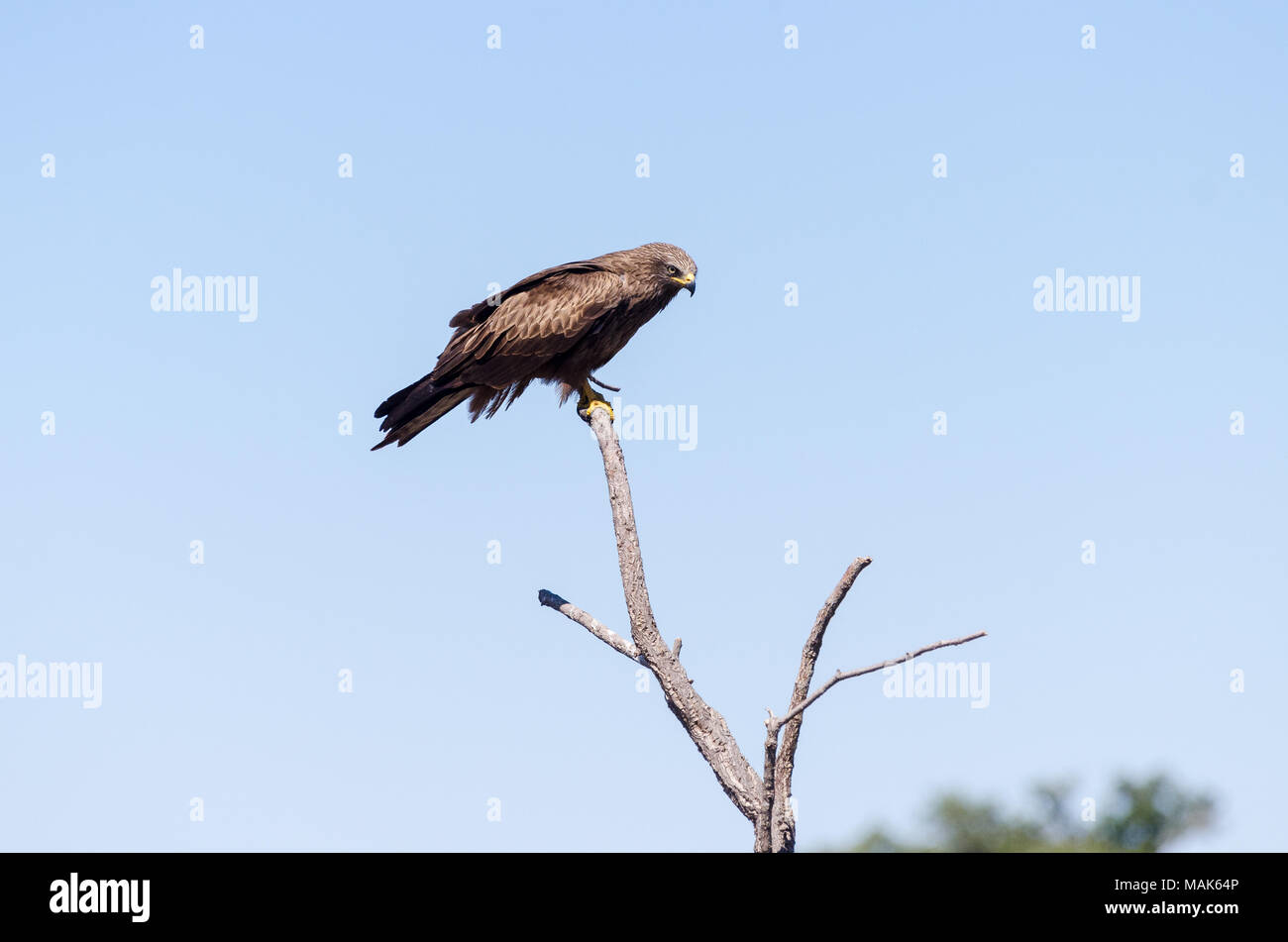 Bonelli's Eagle perched on a branch - Stock Image