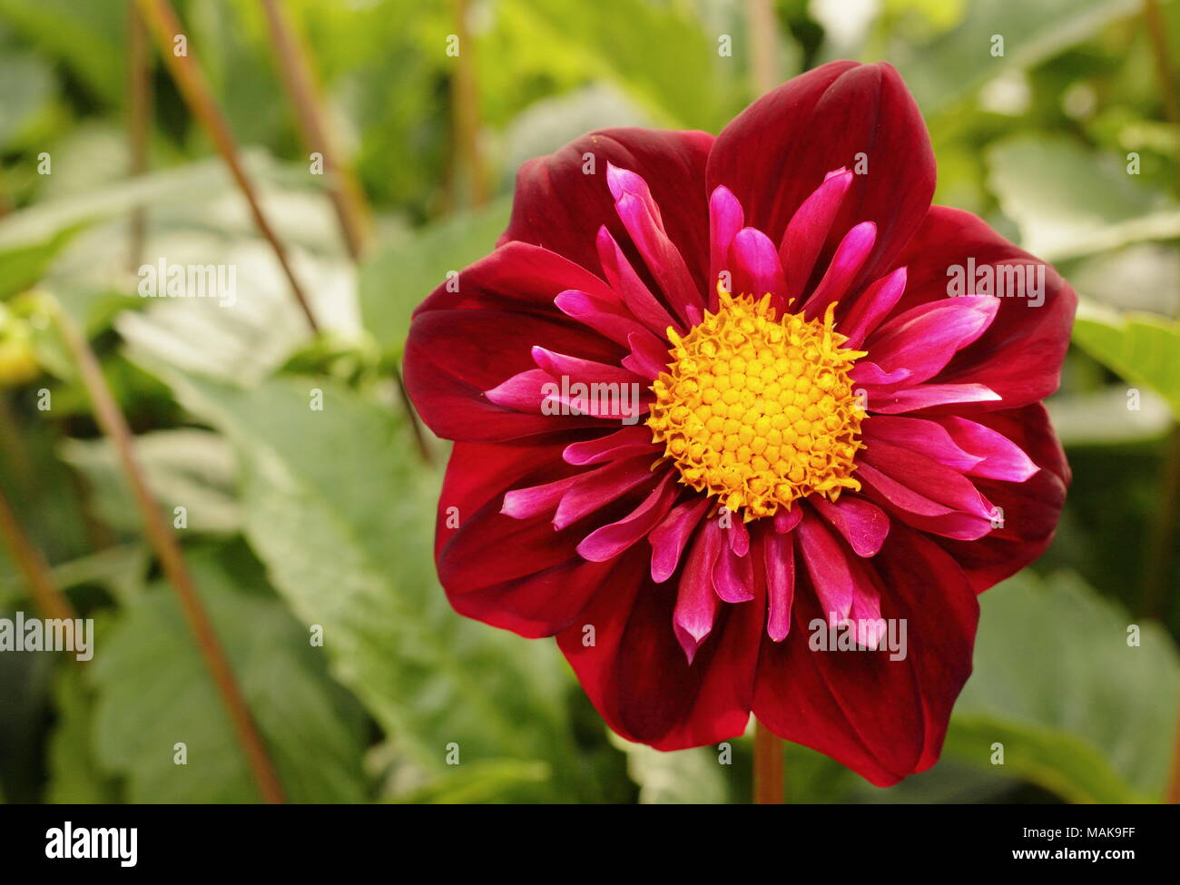 Collarette dahlia stock photos collarette dahlia stock images alamy collarette dahlia isa flower in full boom late summer uk stock izmirmasajfo