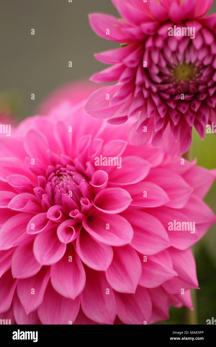Dahlia 'Newfield Pinky' flower in full boom, late summer ,UK - Stock Image