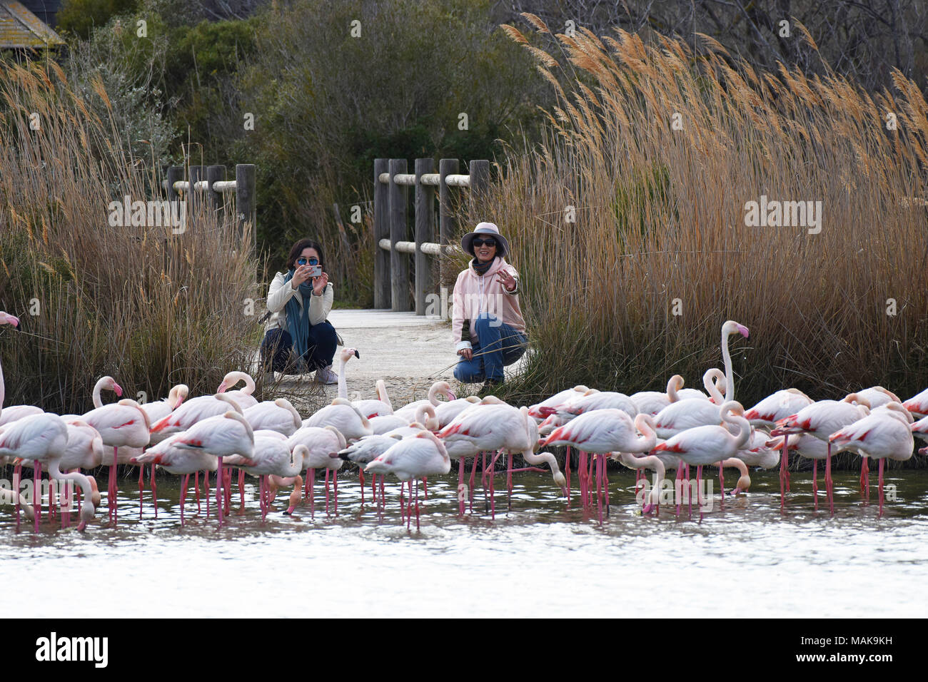 Female tourists posing with the pink Flamingos in the ornithological park Camargue, France. - Stock Image