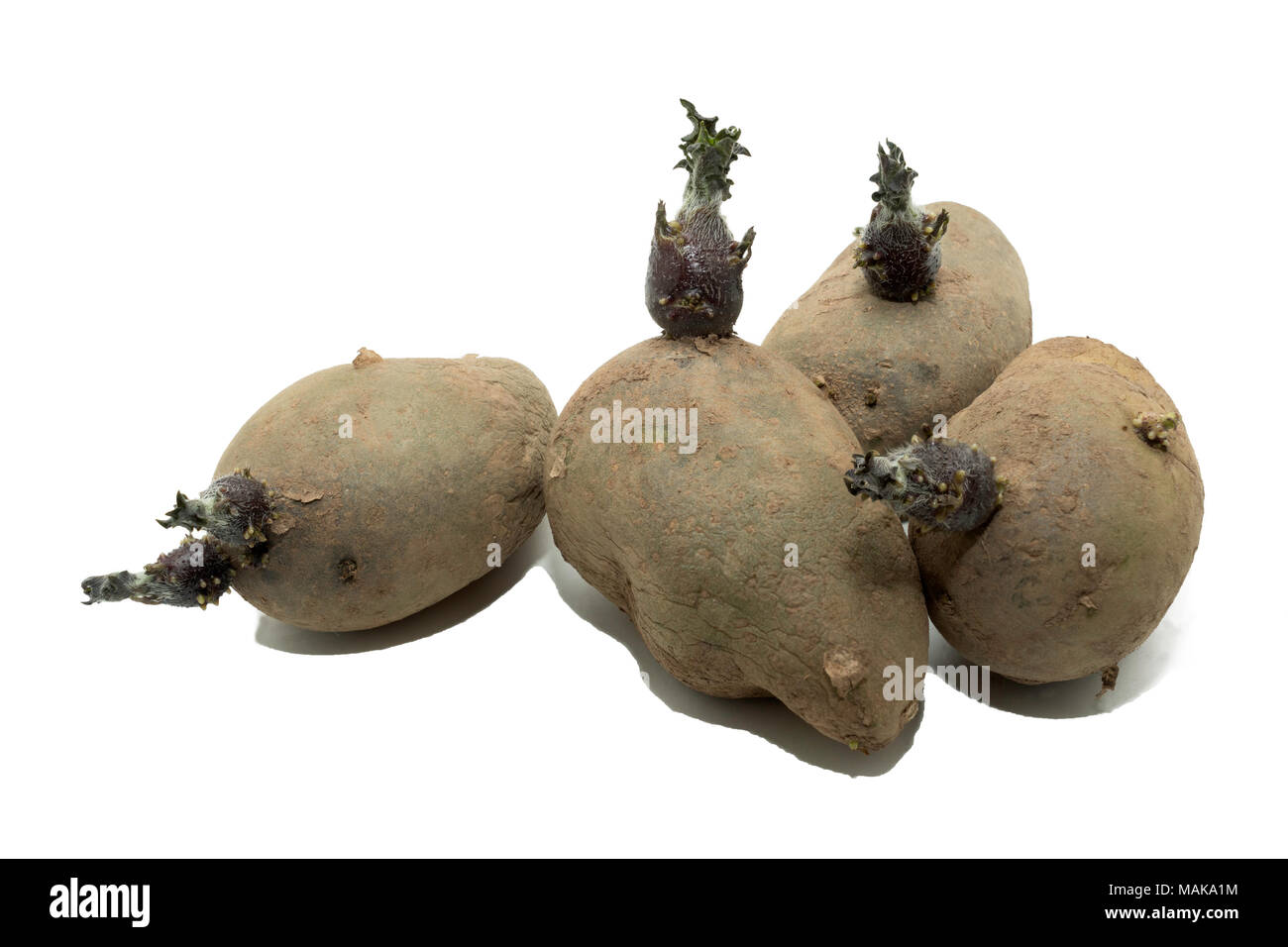 Sprouting Charlotte seed potatoes isolated on a white background. Stock Photo