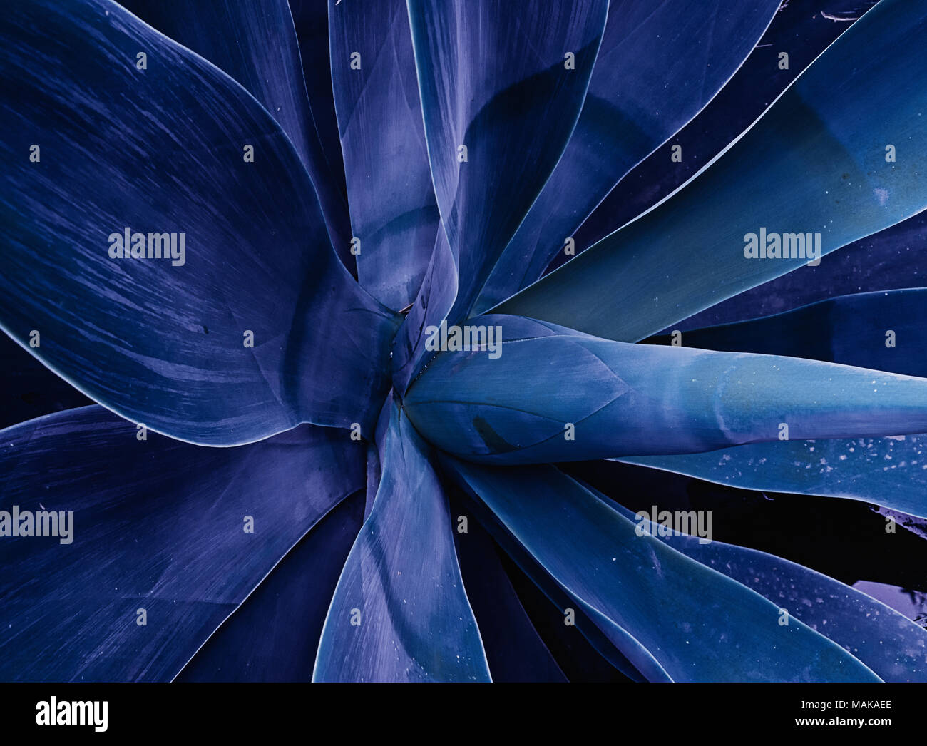 Close up of plant Agave Attenuata blue fox tail plant. Abstract floral trendy toned ultra violet template pattern background - Stock Image